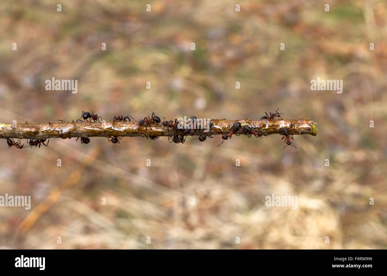 Las hormigas corriendo en un palo de cerca Foto de stock