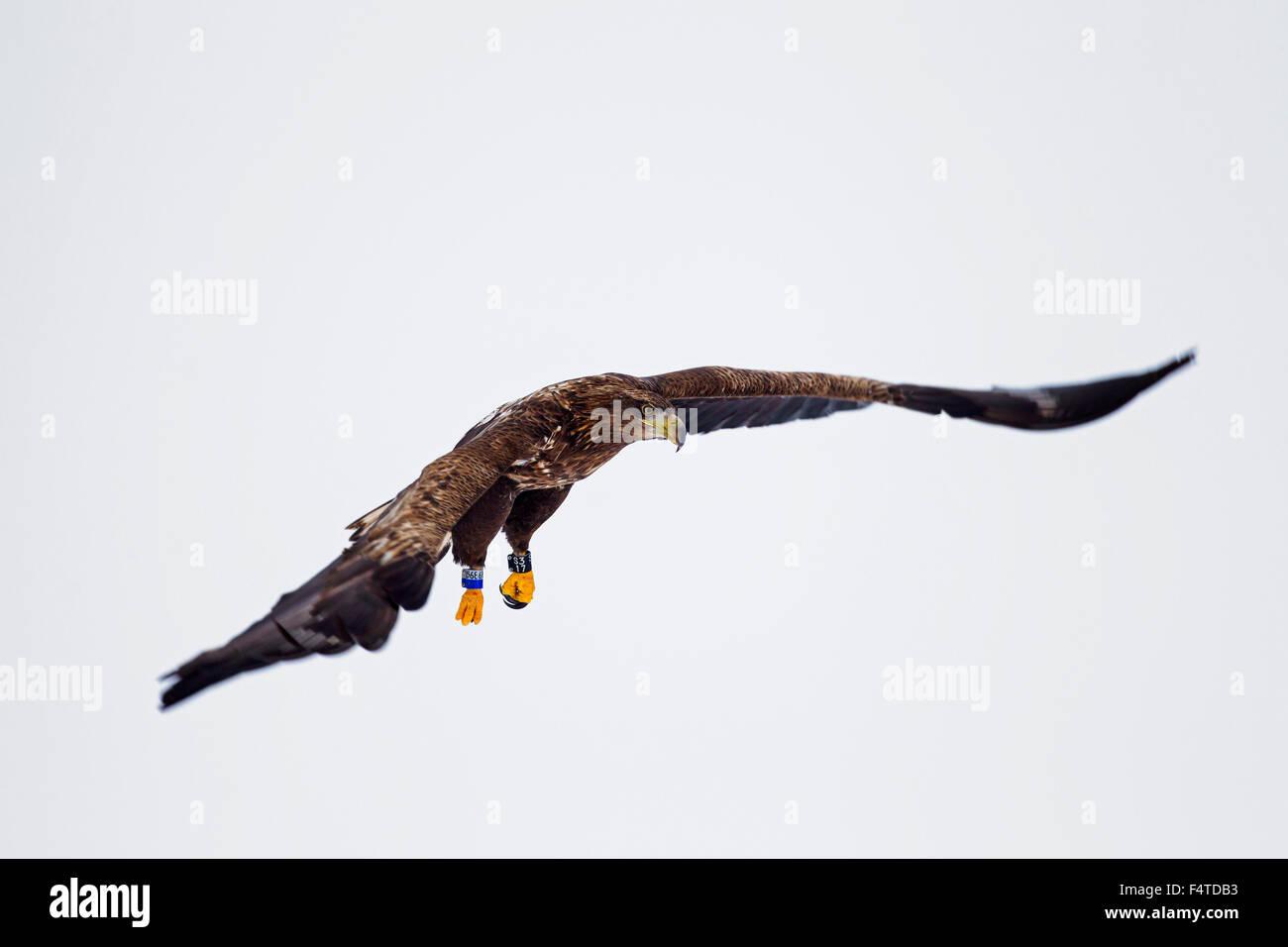 El águila de cola blanca con bandas / Águila de Mar / Erne (Haliaeetus albicilla) menores en vuelo en Imagen De Stock
