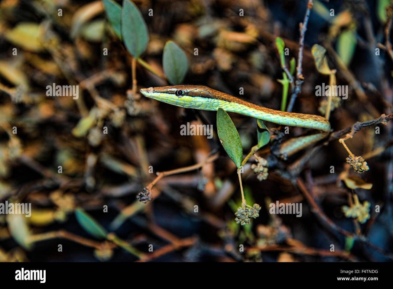 Brown snake, viña Oxybelis aeneus, serpientes, reptiles, animales Imagen De Stock