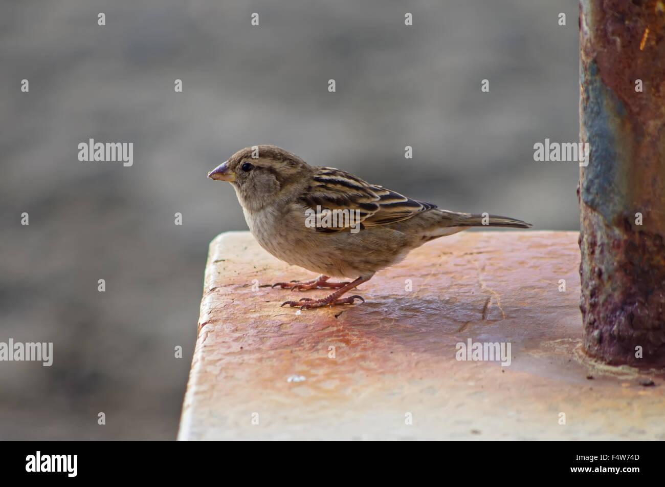 Sparrow buscando algo para comer cerca de casa interna Foto de stock