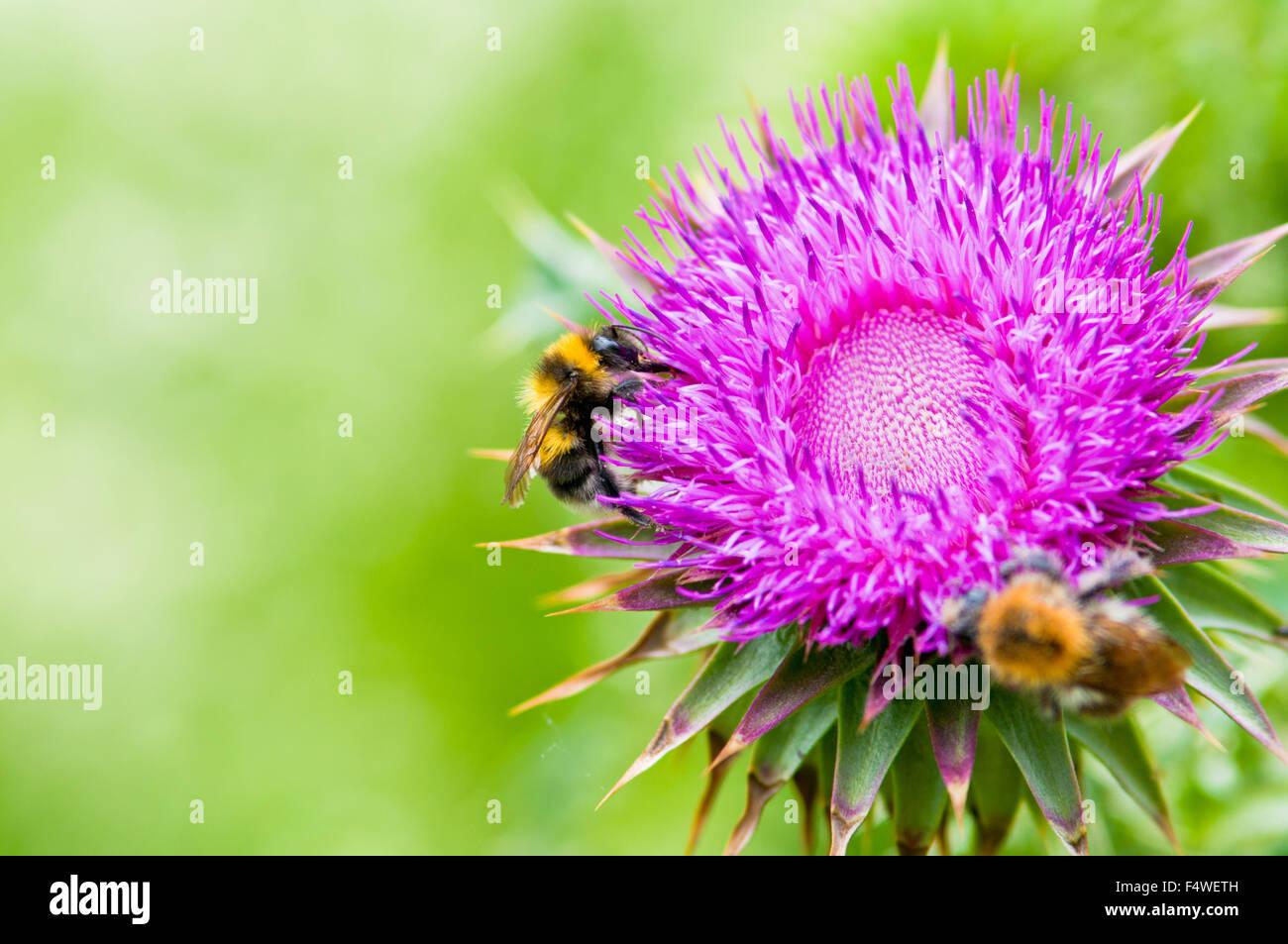 Dos trabajadores de la abeja, recogiendo el néctar de las flores en un hermoso fondo fanimal belleza biología Imagen De Stock