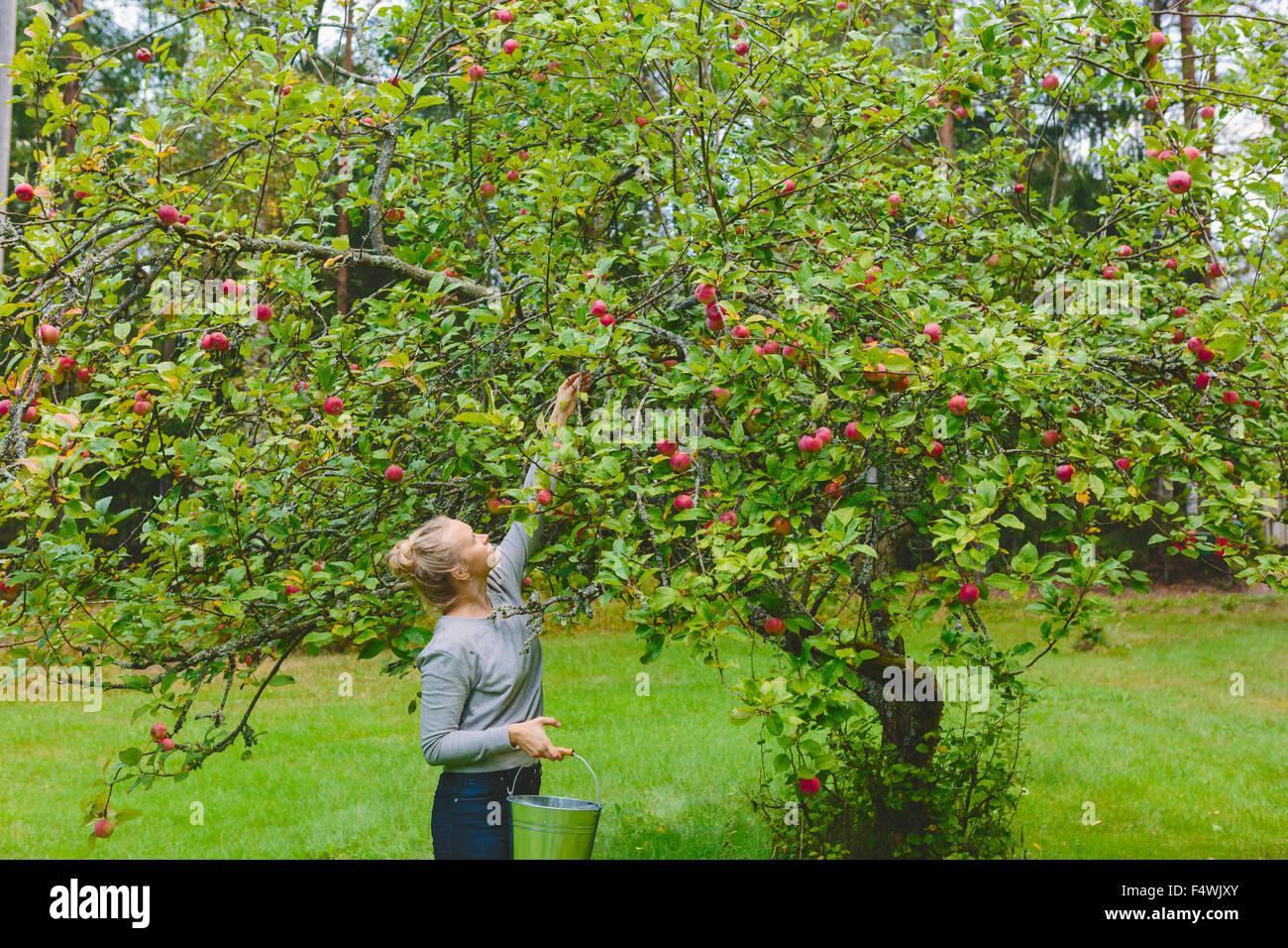Finlandia, Uusimaa, Sipoo, mujer recogiendo manzanas del árbol Foto de stock