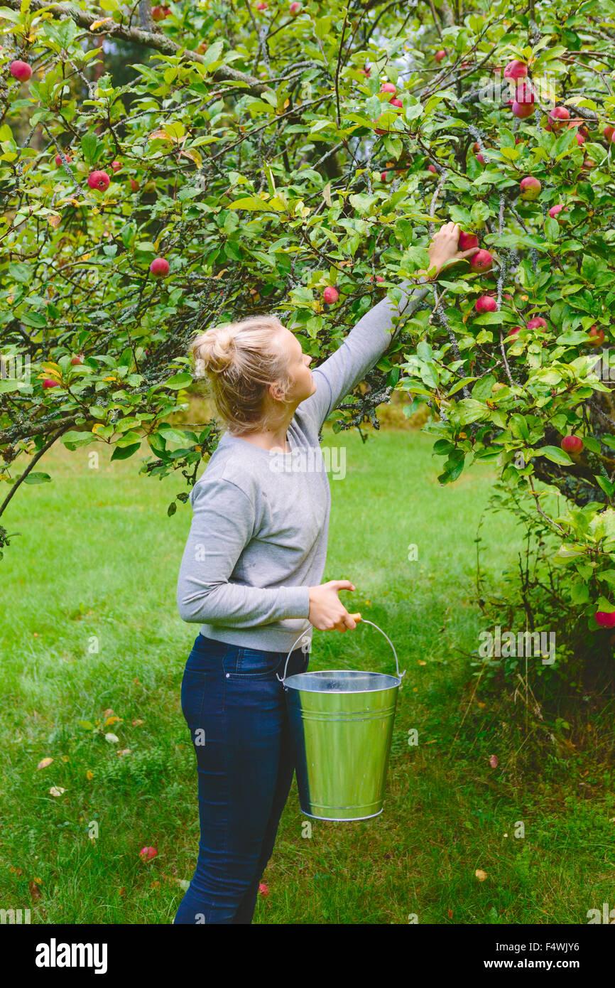 Finlandia, Uusimaa, Sipoo, mujer recogiendo manzanas del árbol Imagen De Stock