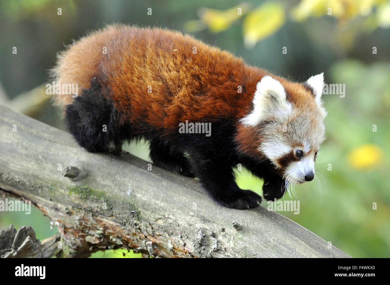 Zlin, República Checa. 23 Oct, 2015. Panda rojo cub se asienta en un árbol en el parque zoológico de Zlin, República Foto de stock