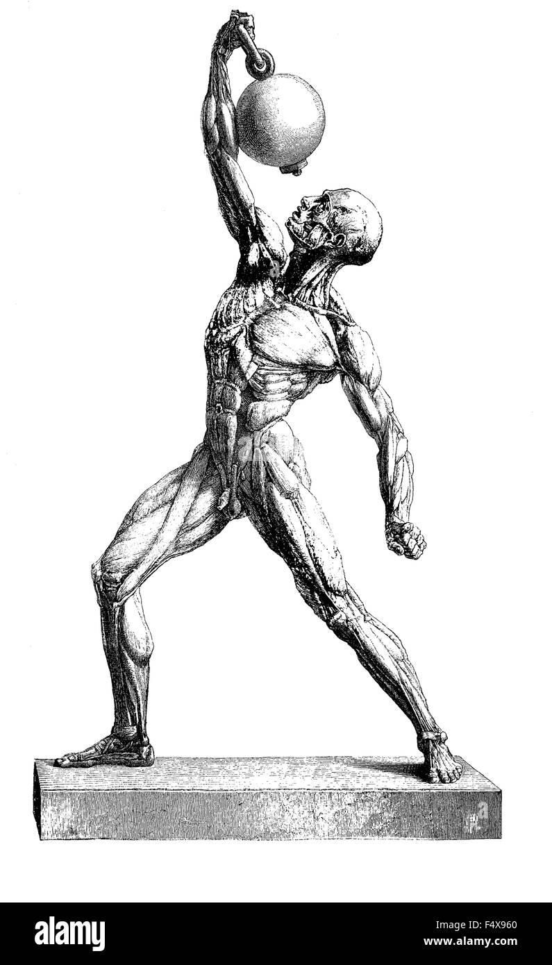 Anatomía: La Musculatura Humana, vintage grabado Imagen De Stock