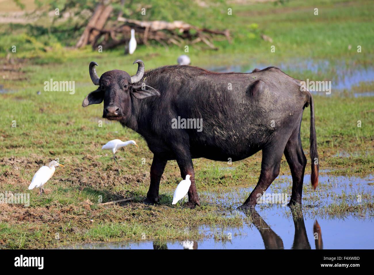 Búfalo de agua (Bubalis bubalis), adultos en aguas poco profundas con la garcilla bueyera (Bubulcus ibis), Parque Nacional Bundala, Sri Lanka Foto de stock