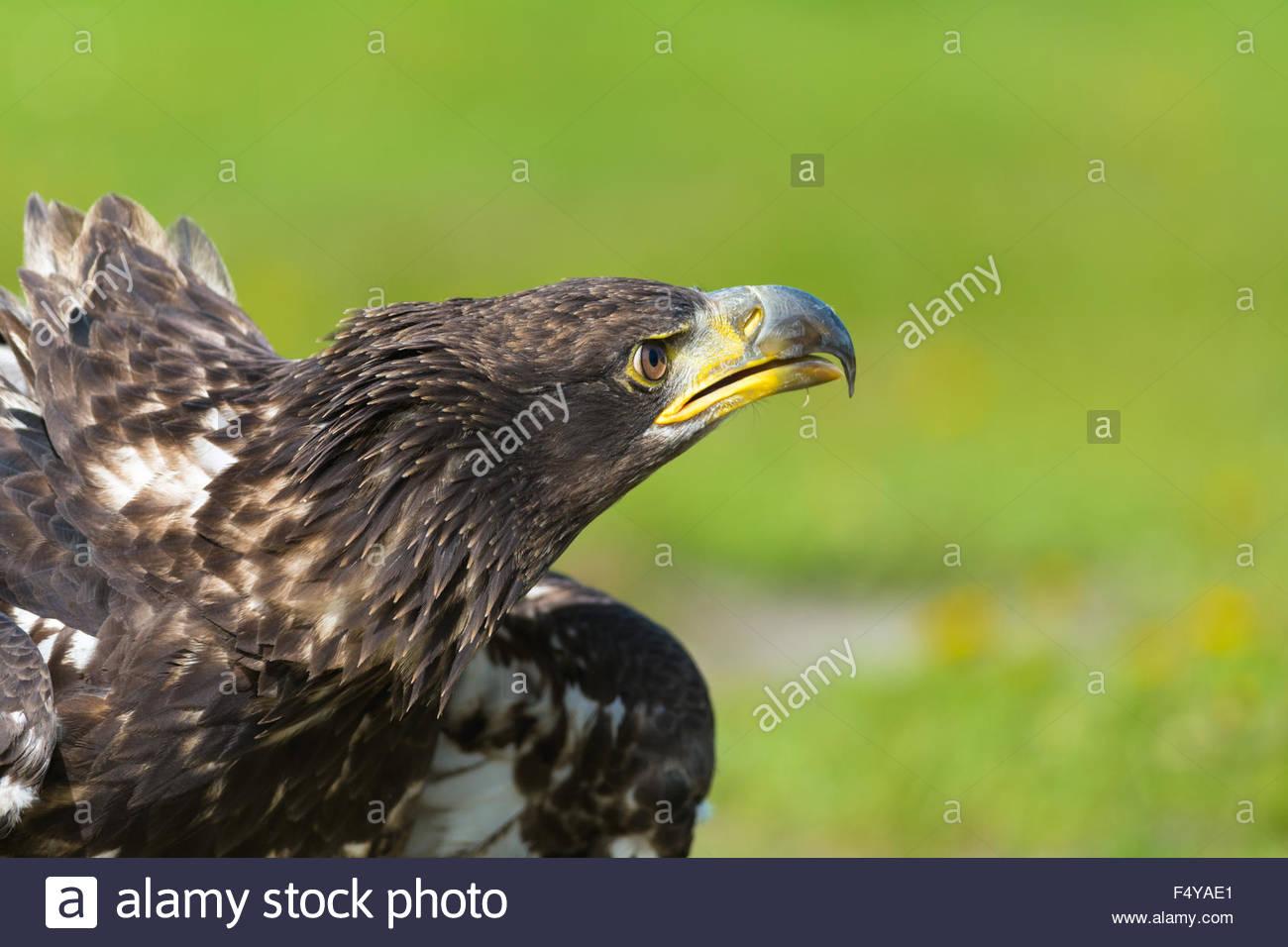 Close Up retrato de un feroz buscando Golden Eagle por naturalmente un borroso fondo verde. Imagen De Stock