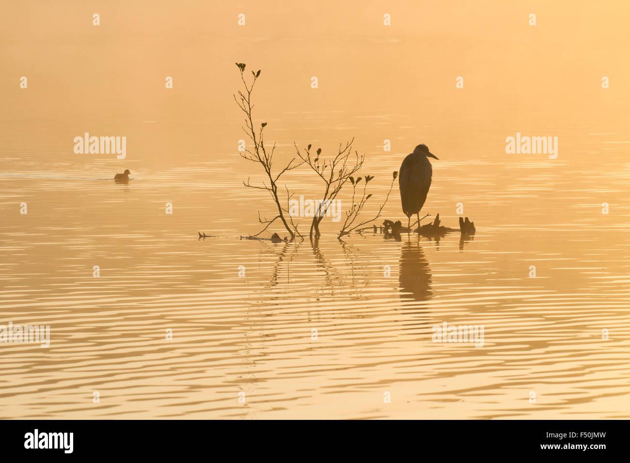 Garza real (Ardea cinerea) en una percha en el medio de un lago con una Focha Común (Fulica atra) nadando pasado Imagen De Stock