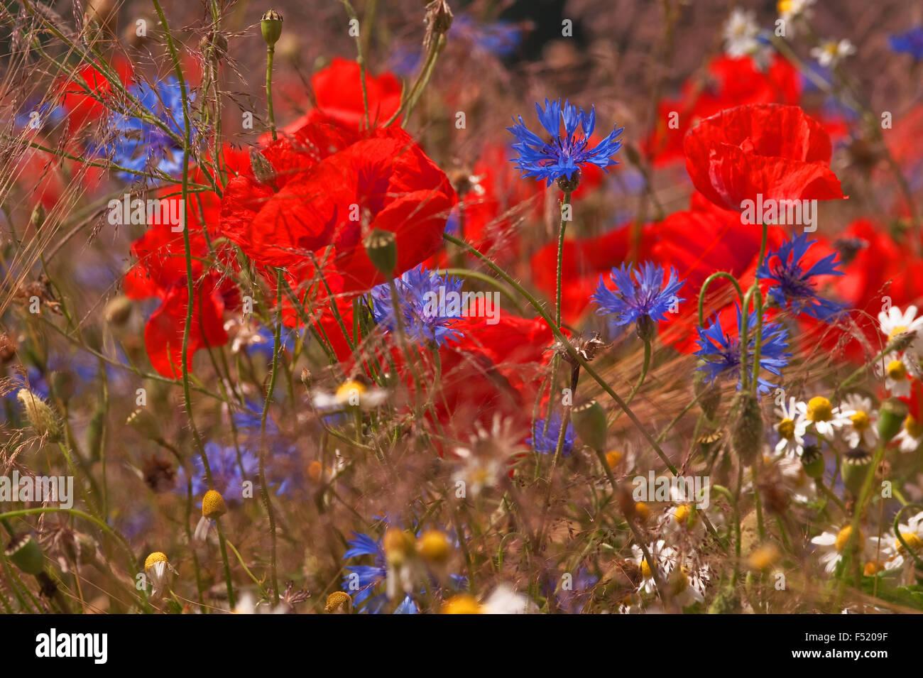 Sommerblumenwiese, Foto de stock
