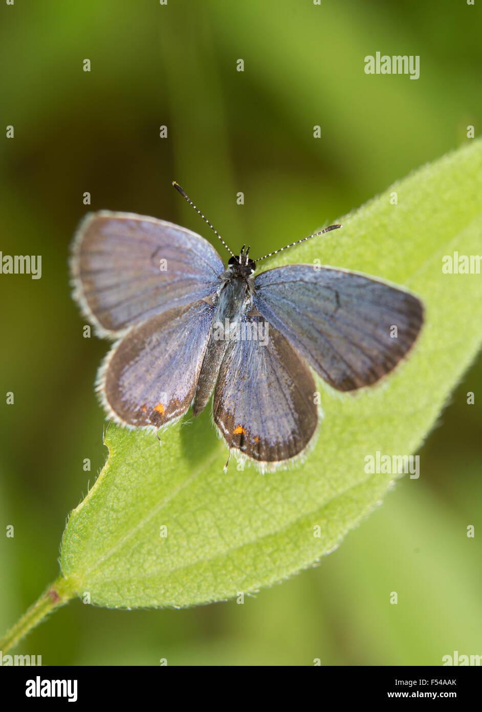 Vista dorsal de una oriental-tailed mariposa azul descansando sobre una hoja Foto de stock
