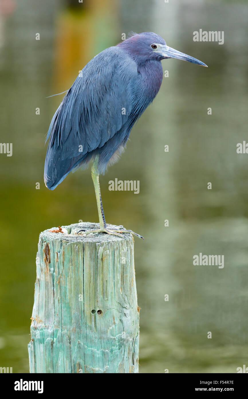 Little Blue Heron, Egretta caerulea, aves zancudas de pie en un pie sobre un poste en Captiva Island, Florida, EE.UU. Imagen De Stock