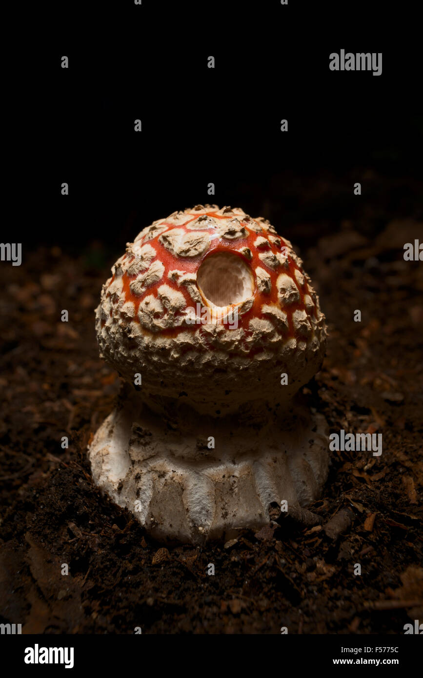 Amanita muscaria seta Foto de stock