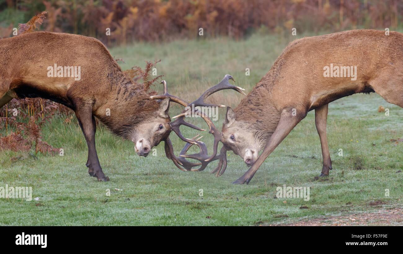Par de ciervos rut de ciervo rojo (Cervus elaphus) combates, duelos o sparring en una fresca mañana. Foto de stock