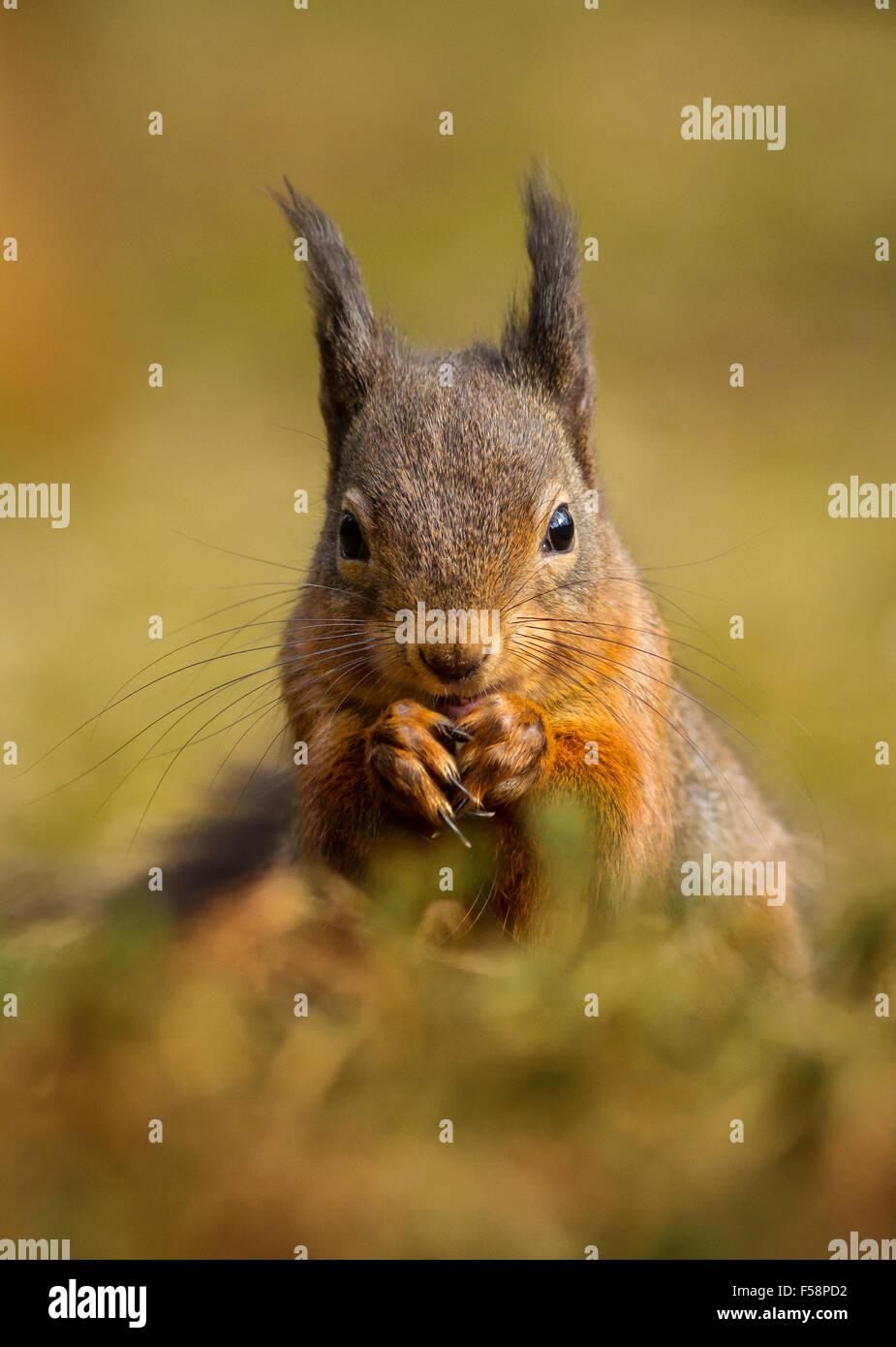 Terreno plano de una ardilla roja sentada con orejas tufted en otoño en Escocia Imagen De Stock