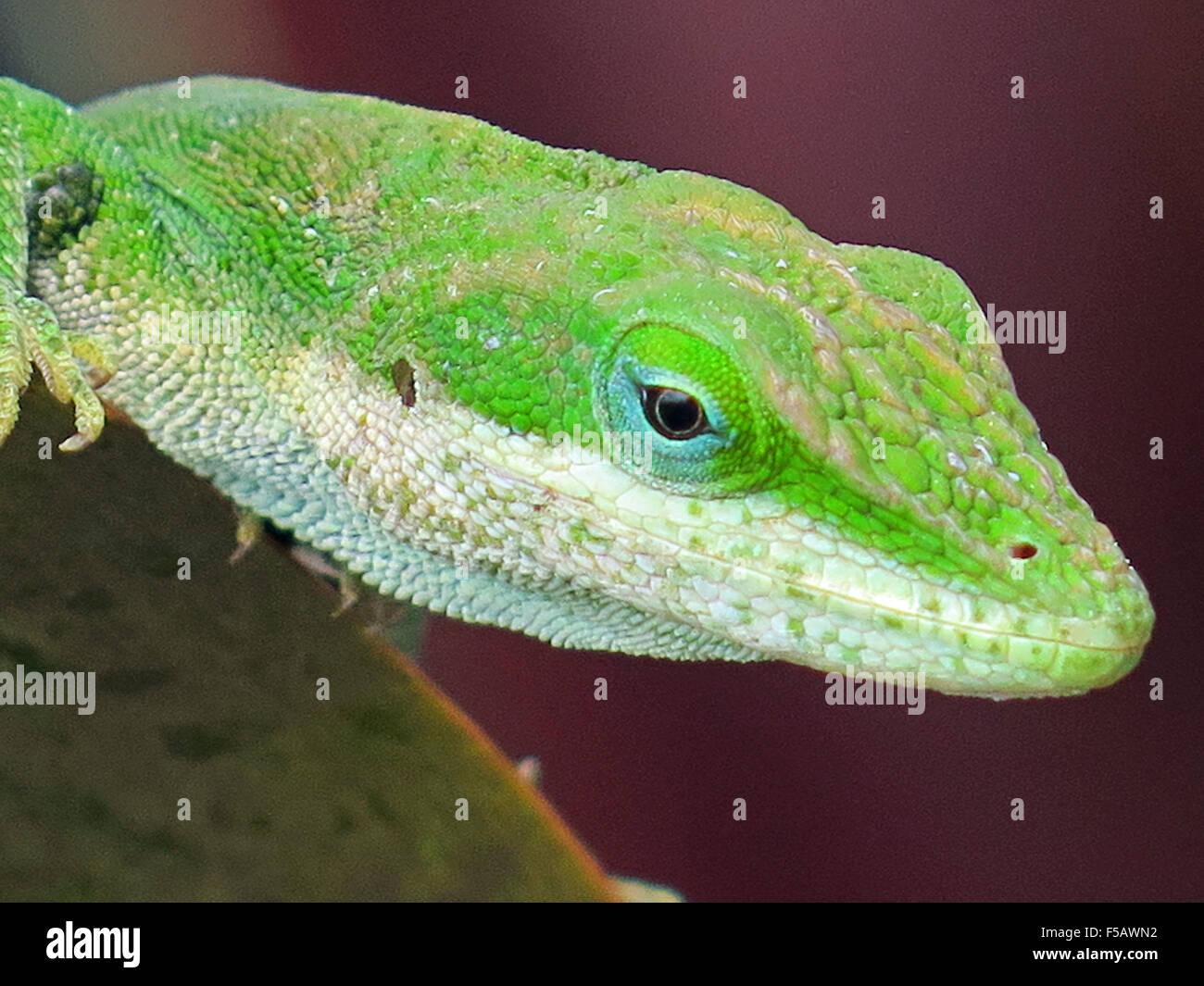 Gecko Imagen De Stock