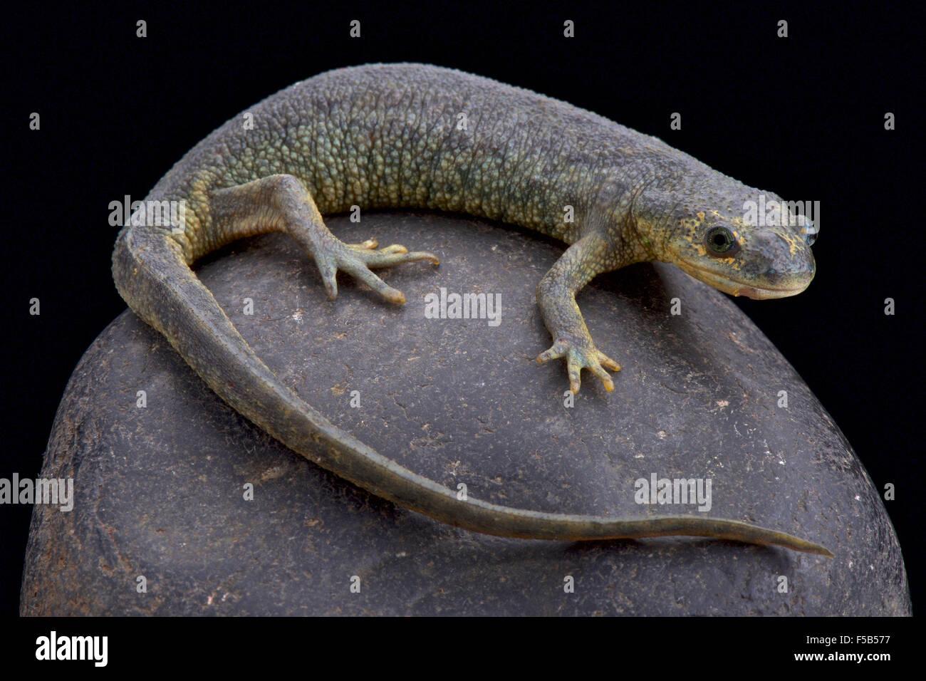 Estriada argelino newt (Pleurodeles nebulosus) Imagen De Stock