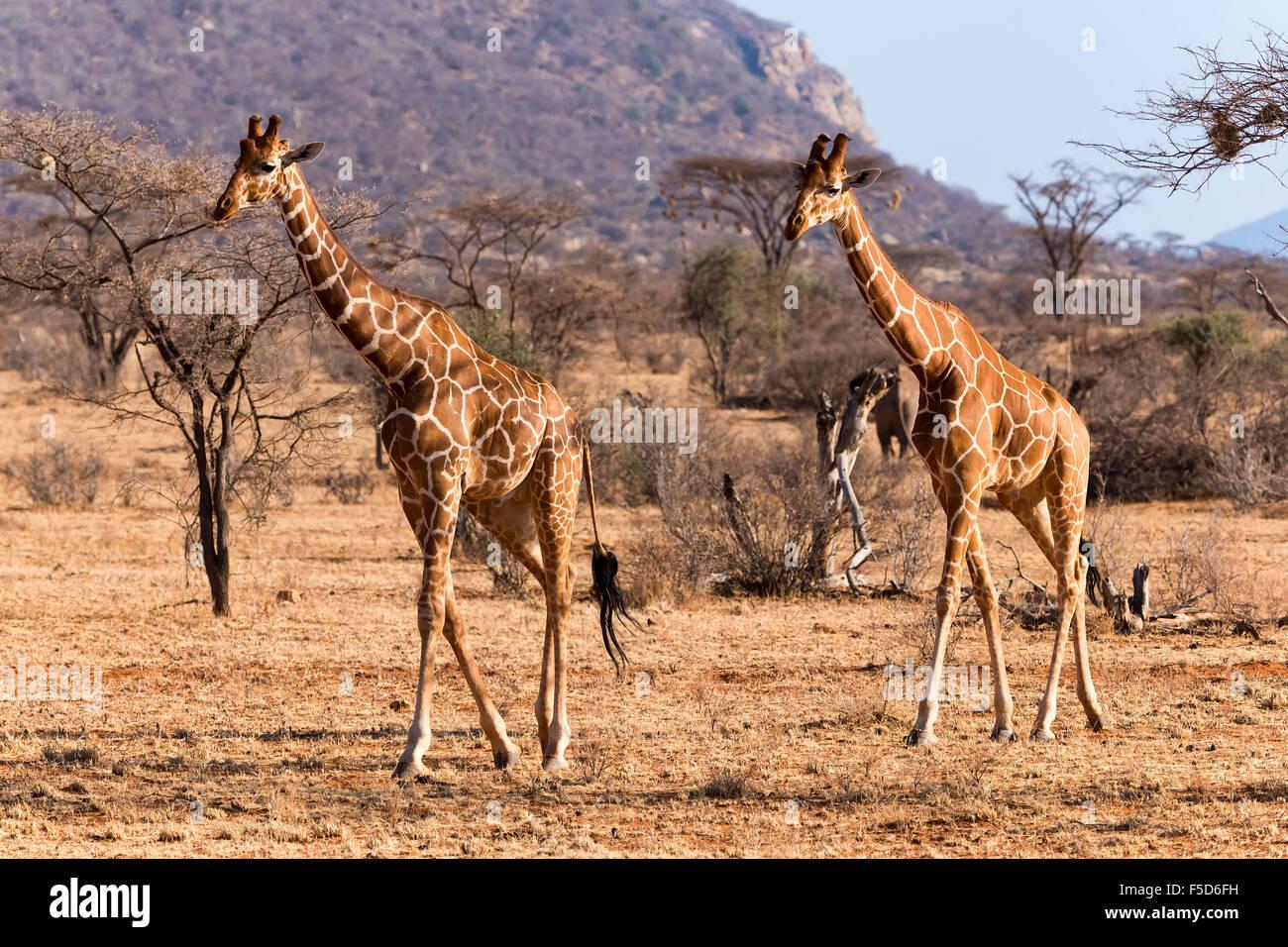 Jirafas reticulado o jirafas somalí (Giraffa camelopardalis reticulata) en marcha, Reserva Nacional de Samburu, Kenia Foto de stock