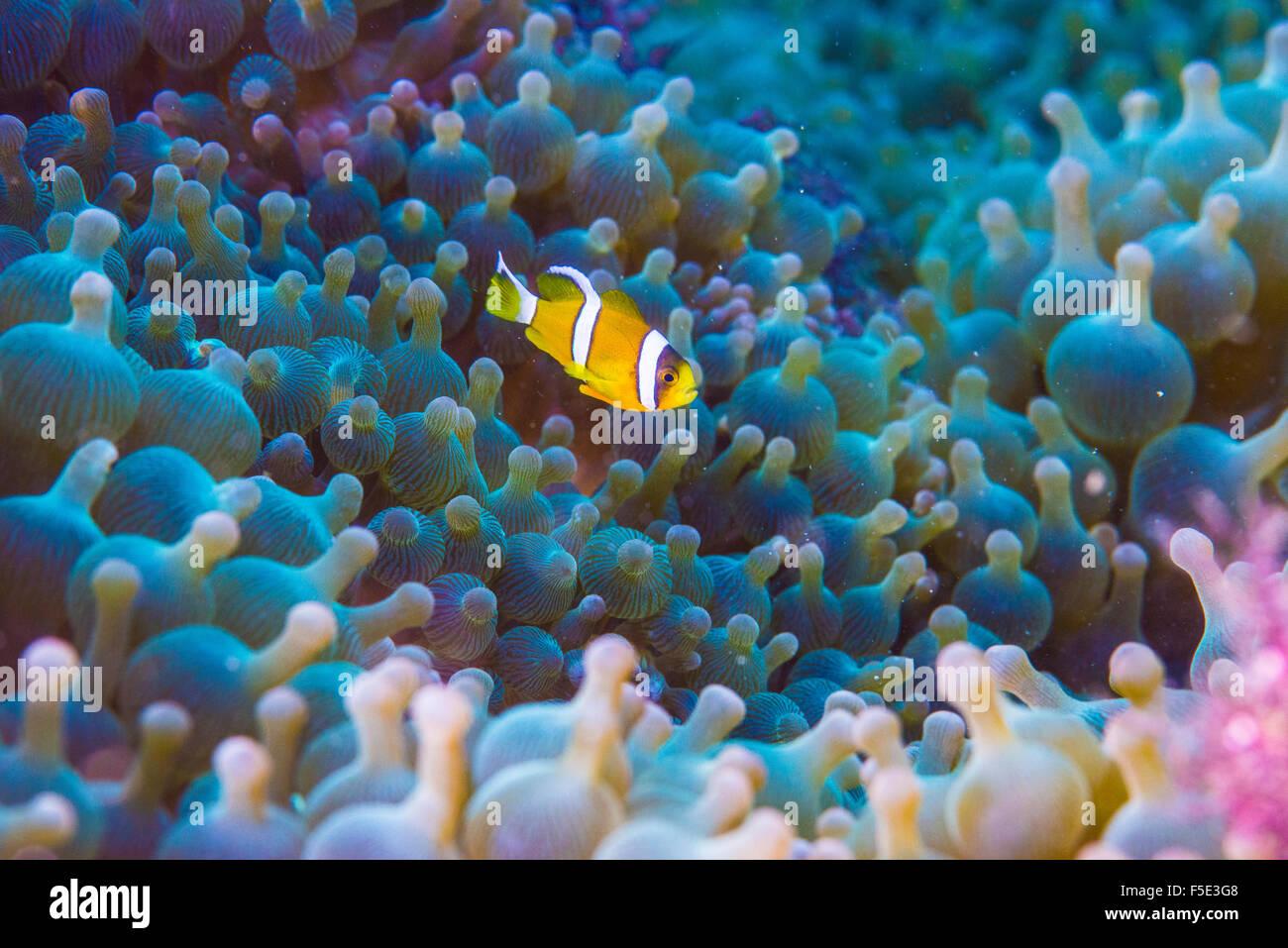 Los niños anémona pescan pez de anémona, 1cm de largo, nadando alrededor de la anémona de mar grande casa. En Kajika Owase Mie Japón Foto de stock
