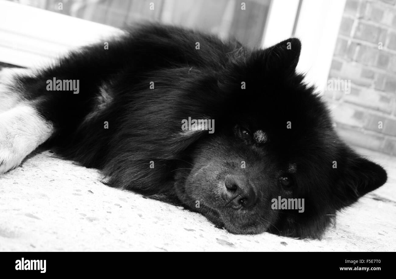 Perro eurasier, medio raza del perro, perro inusual Imagen De Stock
