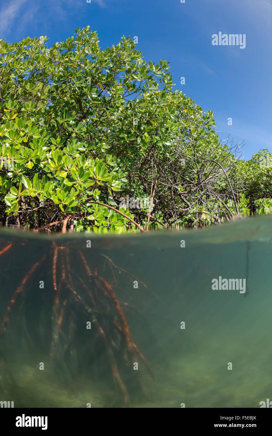 Rhizophora mangle sp. por encima y por debajo de split shots de Sau, Bahía de Vanua Levu, Fiji, Pacífico Sur, Pacífico Foto de stock