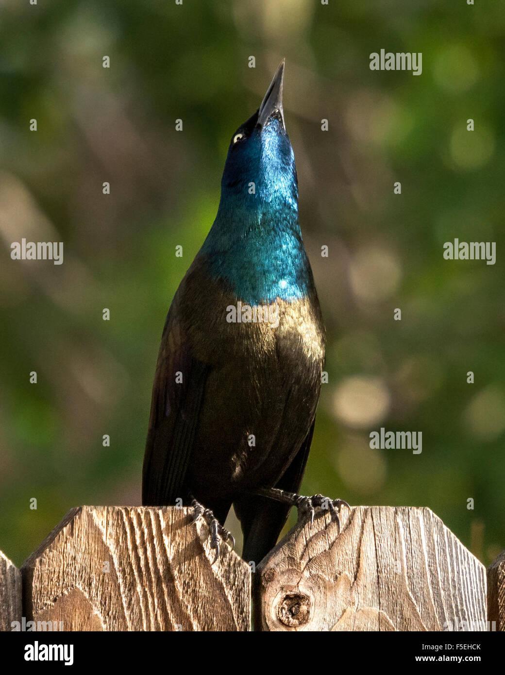 Grackle común pájaro posado en una valla mirando hacia arriba, Colorado, EE.UU. Imagen De Stock