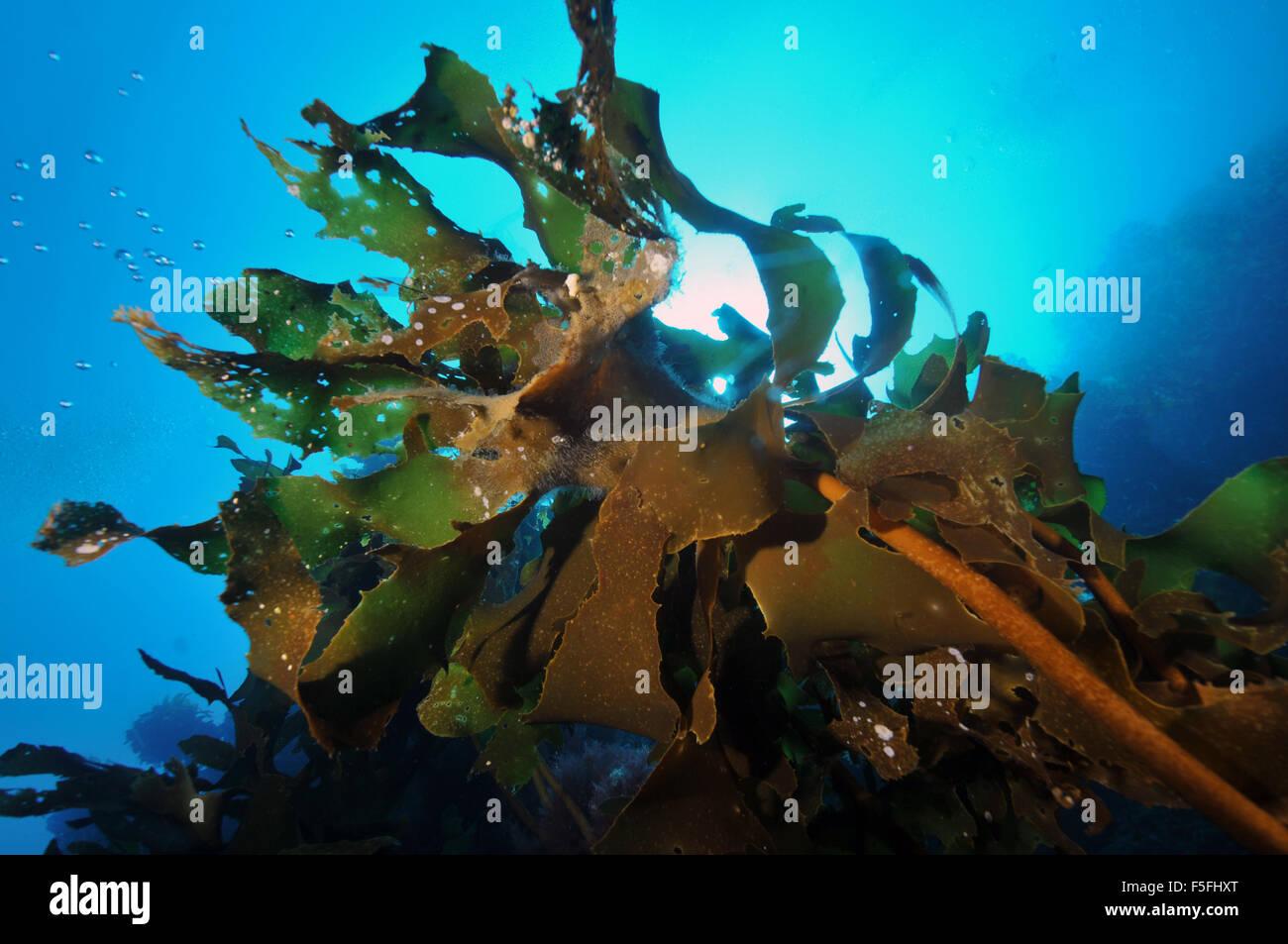 Alga Ulva o lechuga de mar, Ulva lactuca, pobres Caballeros, Reserva Natural de las Islas de la Bahía de las islas, Nueva Zelanda Foto de stock