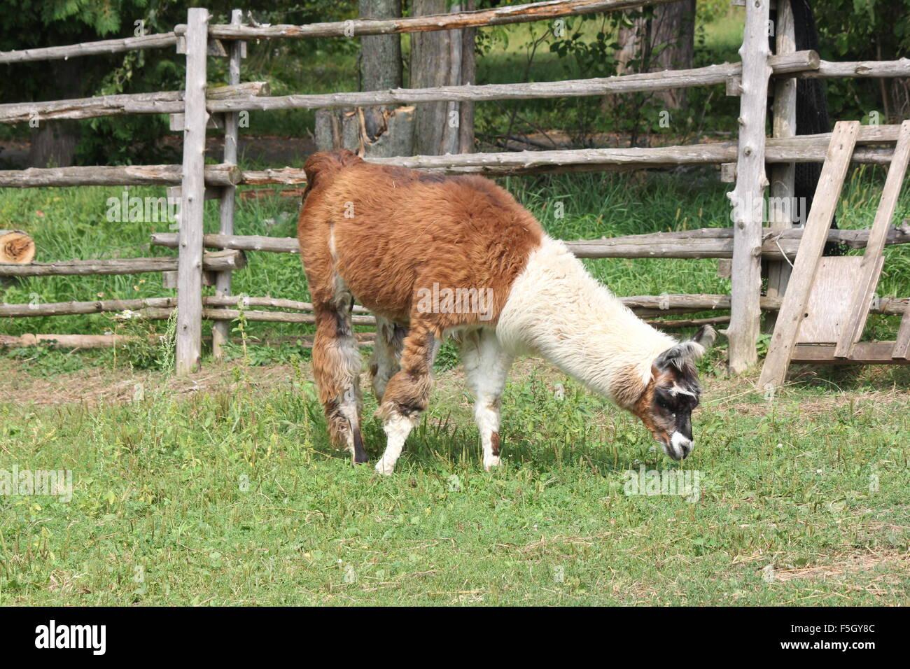 Llama en una pequeña granja de pasatiempo. La llama es un camélido sudamericano domesticado, fue ampliamente Imagen De Stock