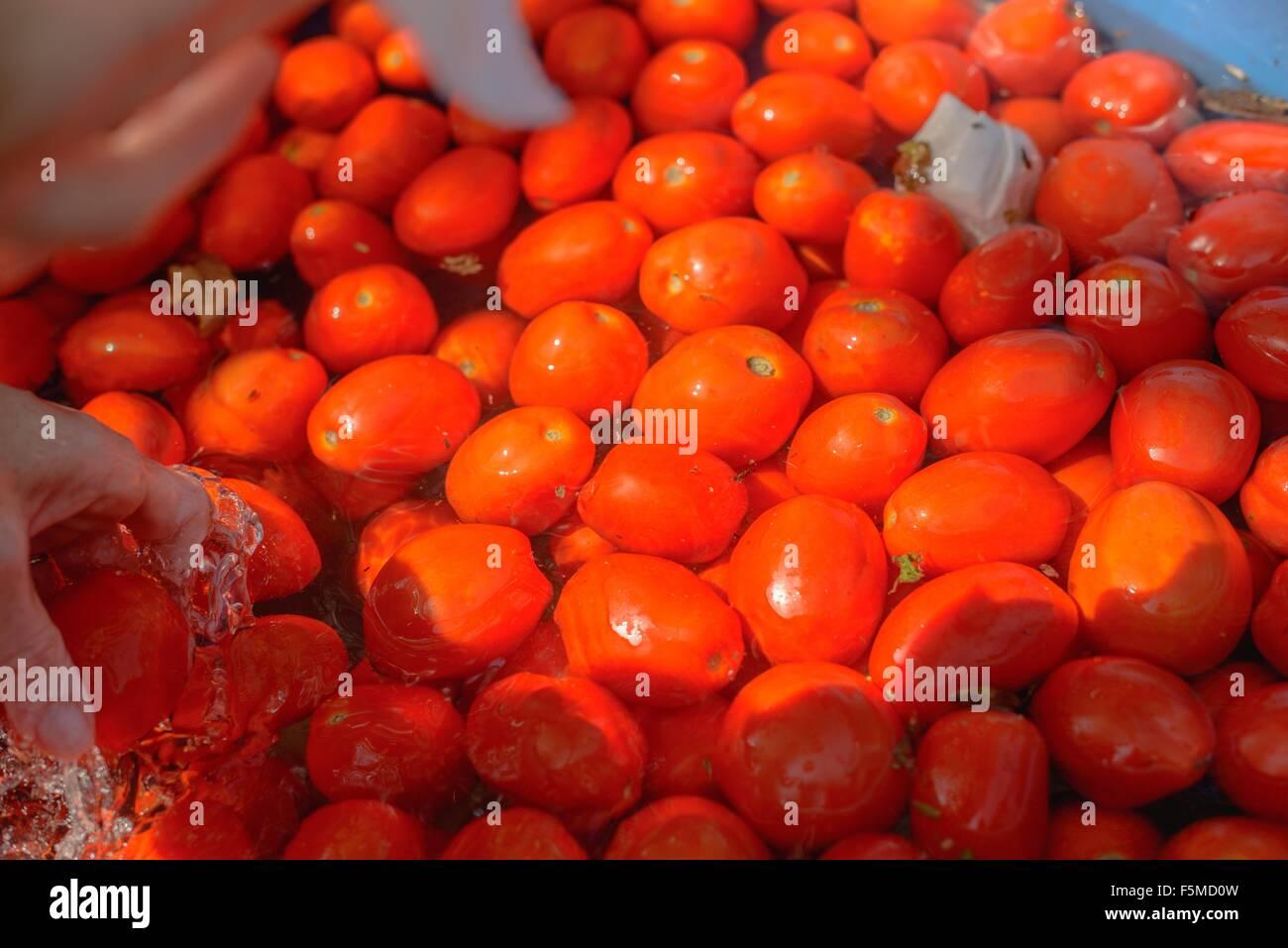 La recogida de la mano de agua de tomate Imagen De Stock