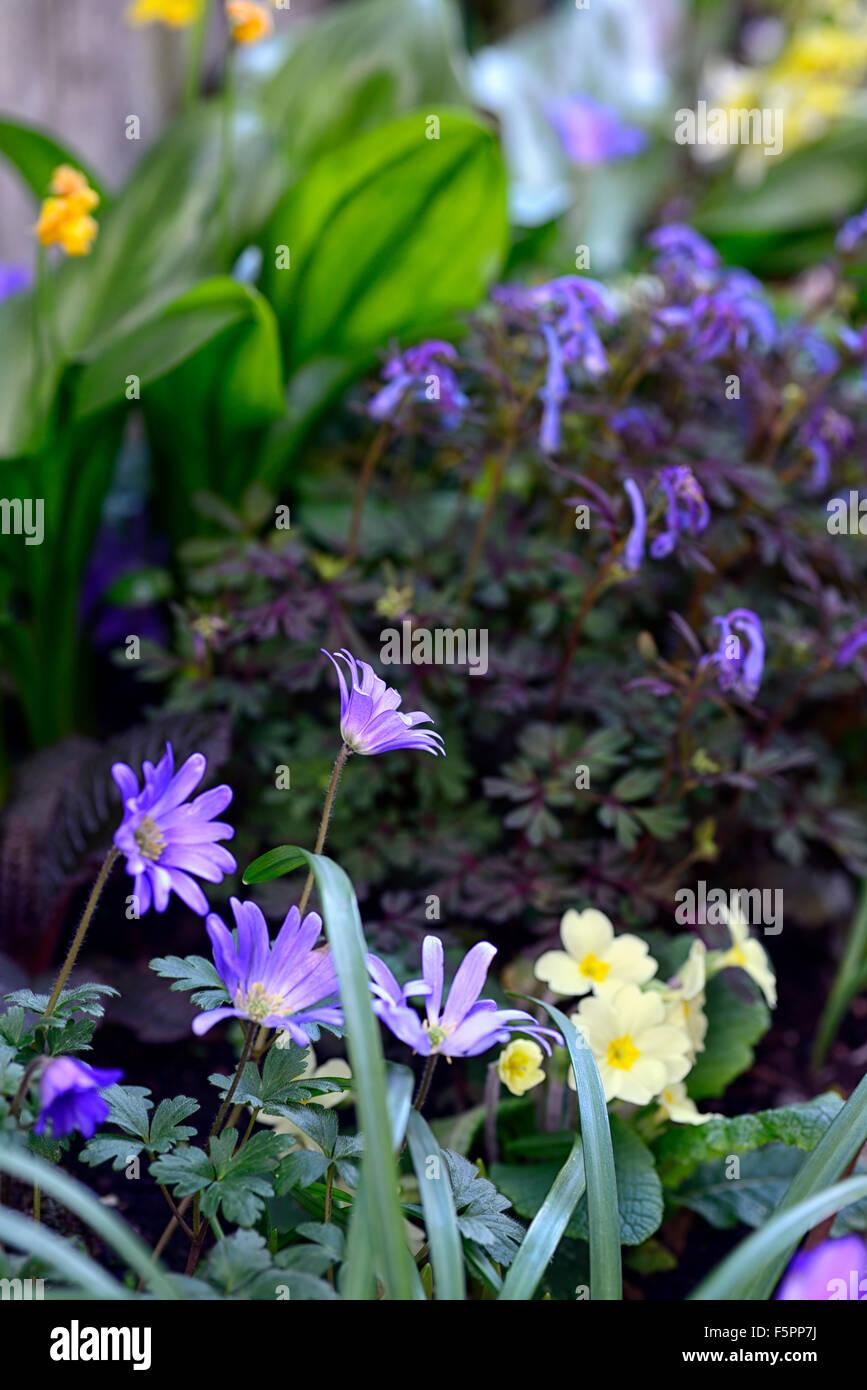 Anemone Blanda Azul Primula Vulgaris Corydalis George Primavera - Flores-de-sombra