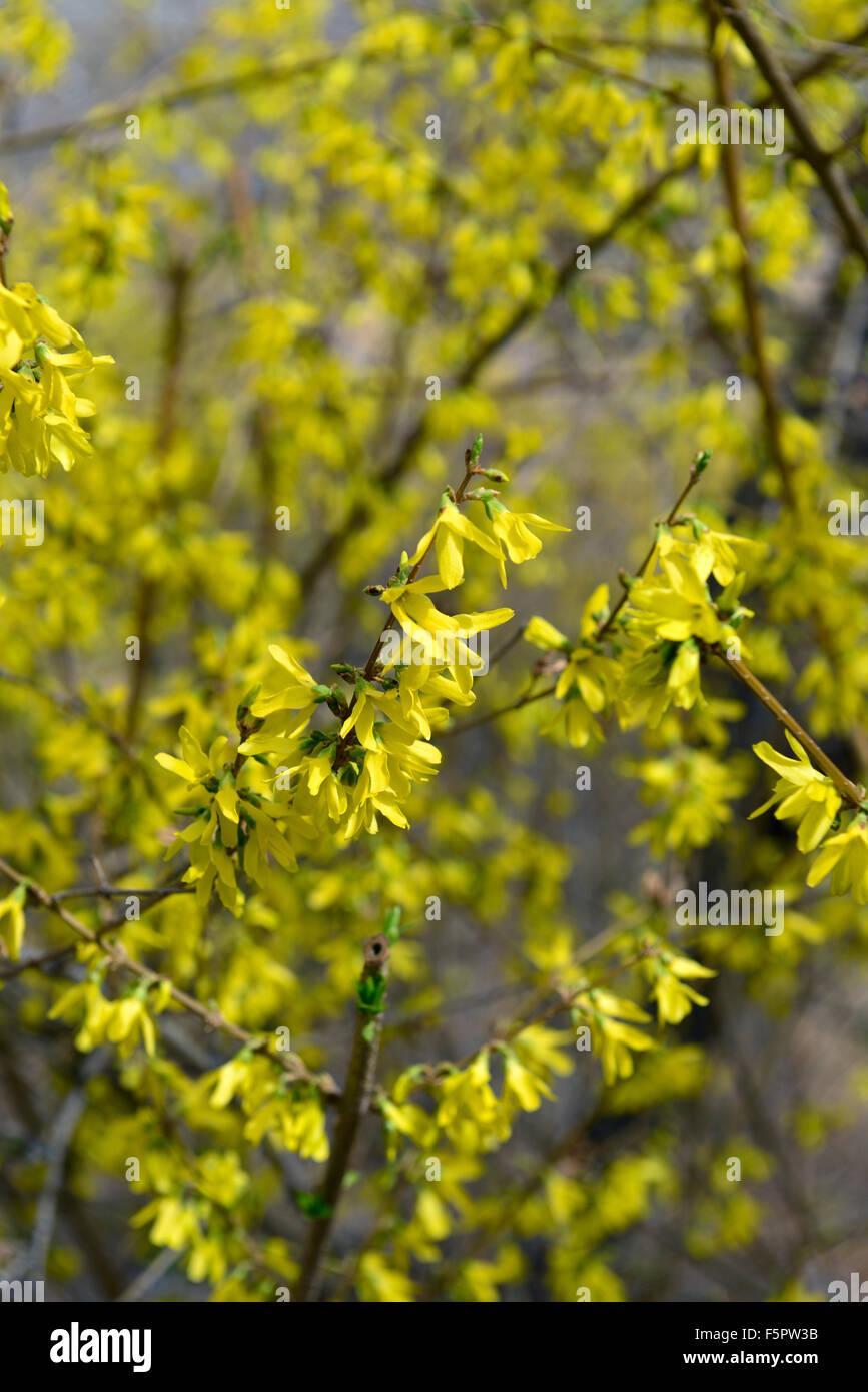 Forsythia suspensa vahl llorando forsythia golden bell flor amarilla flores de árboles florecientes arbustos Imagen De Stock