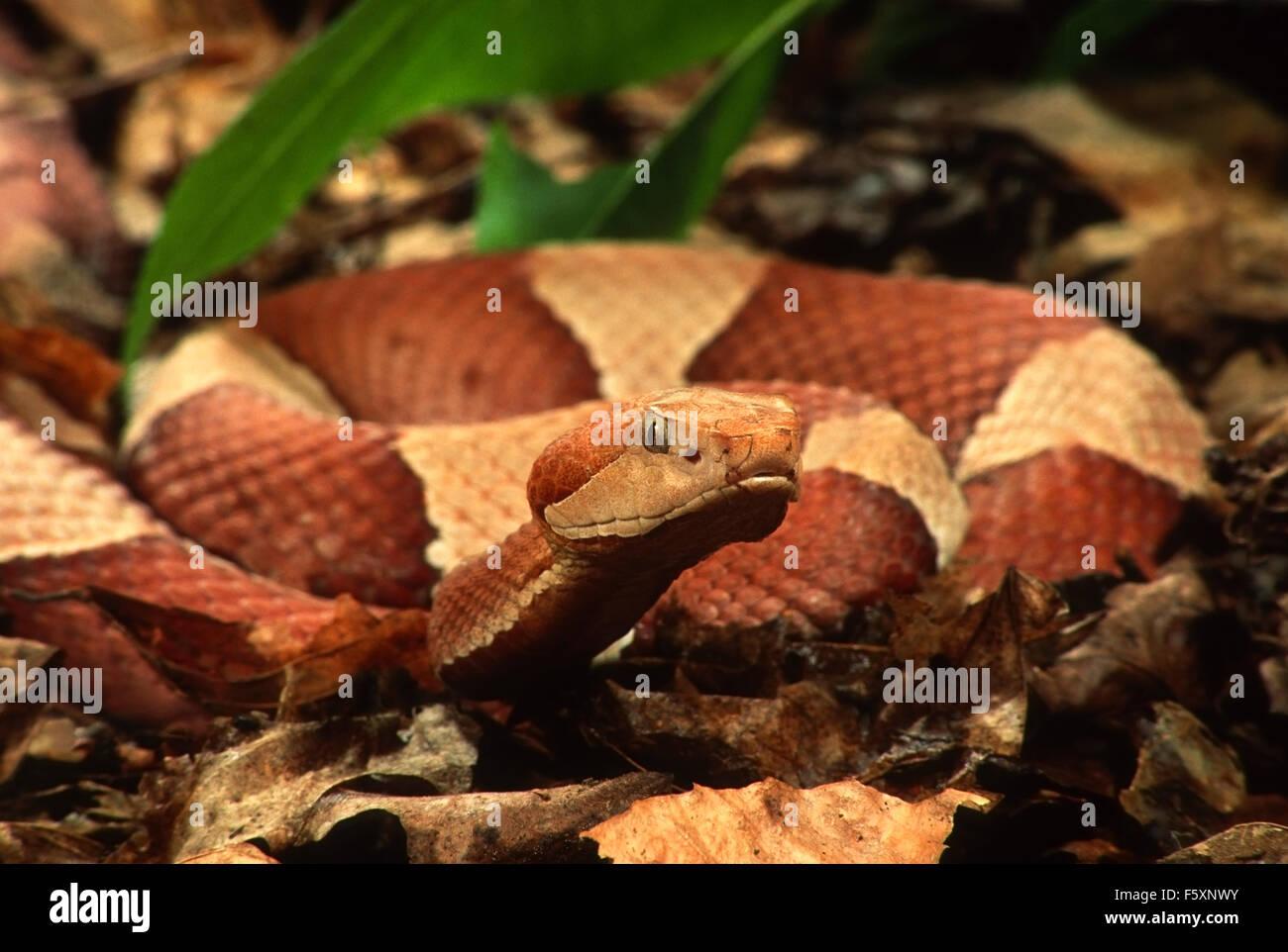 La Serpiente cabeza de cobre (copperhead) Broad-Banded (Agkistrodon contortrix) Imagen De Stock