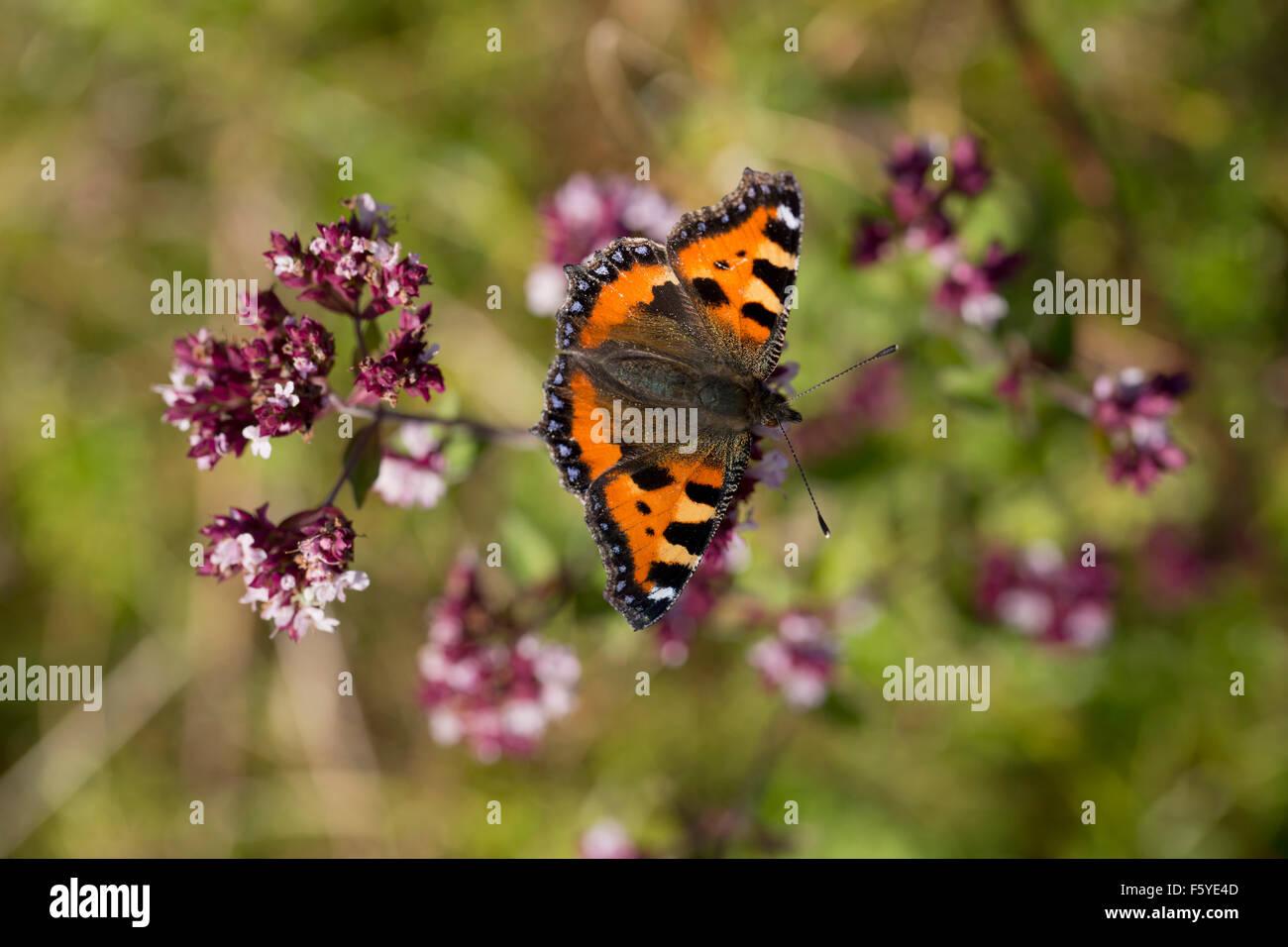 Small Tortoiseshell; Mariposas Aglais urticae solo en flor; Cornwall; UK Foto de stock