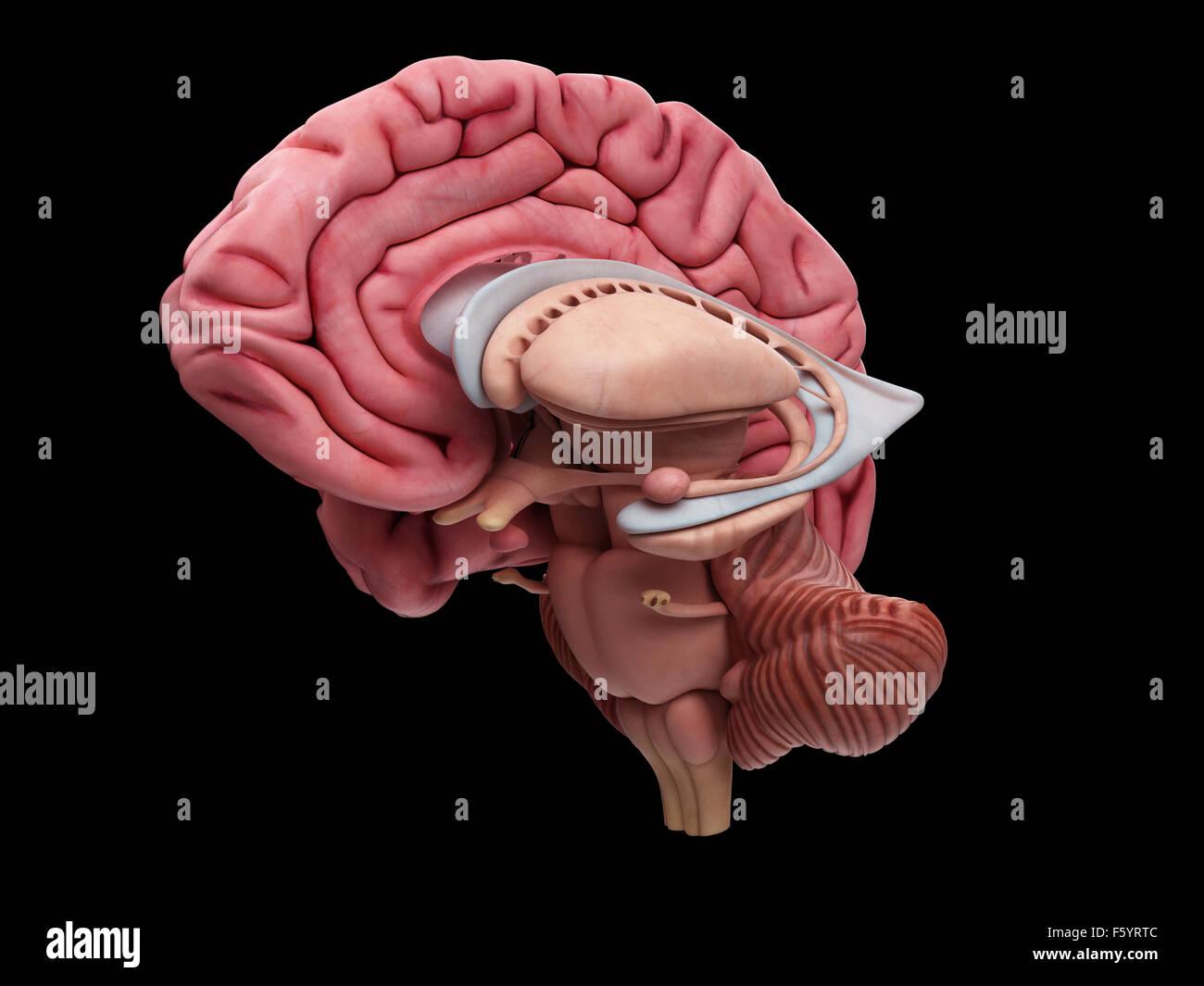 Ilustración médica precisa de la anatomía del cerebro Imagen De Stock