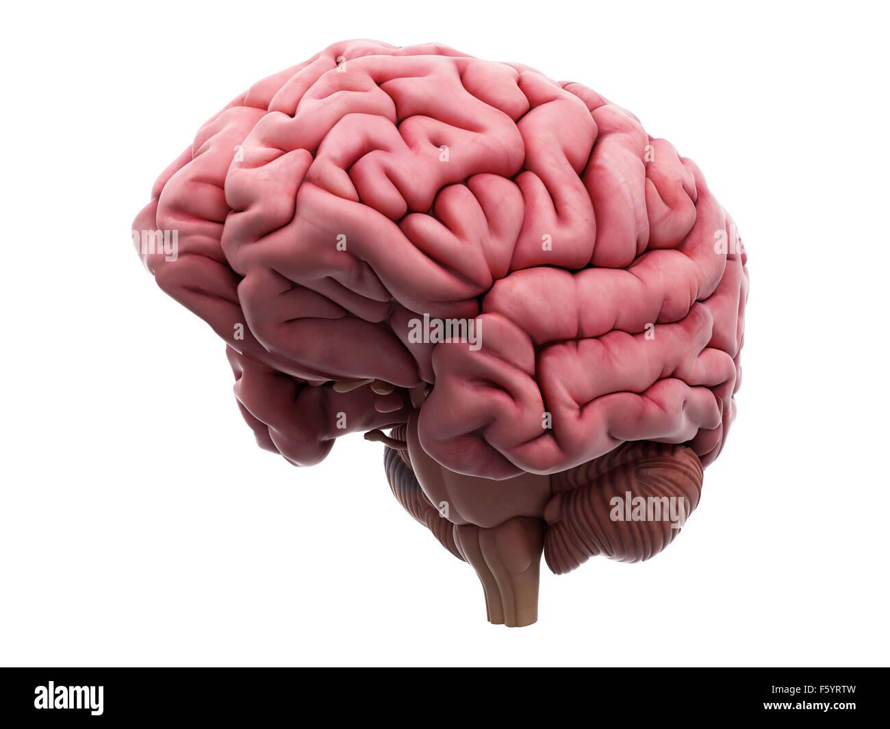Ilustración médica precisa del cerebro Imagen De Stock