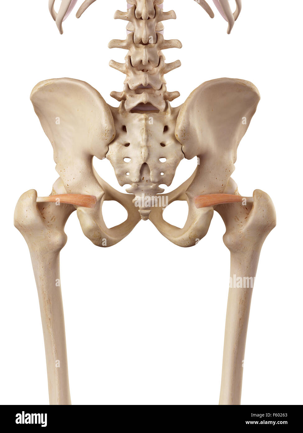 Ilustración de la precisión médica gemellus superior Foto de stock