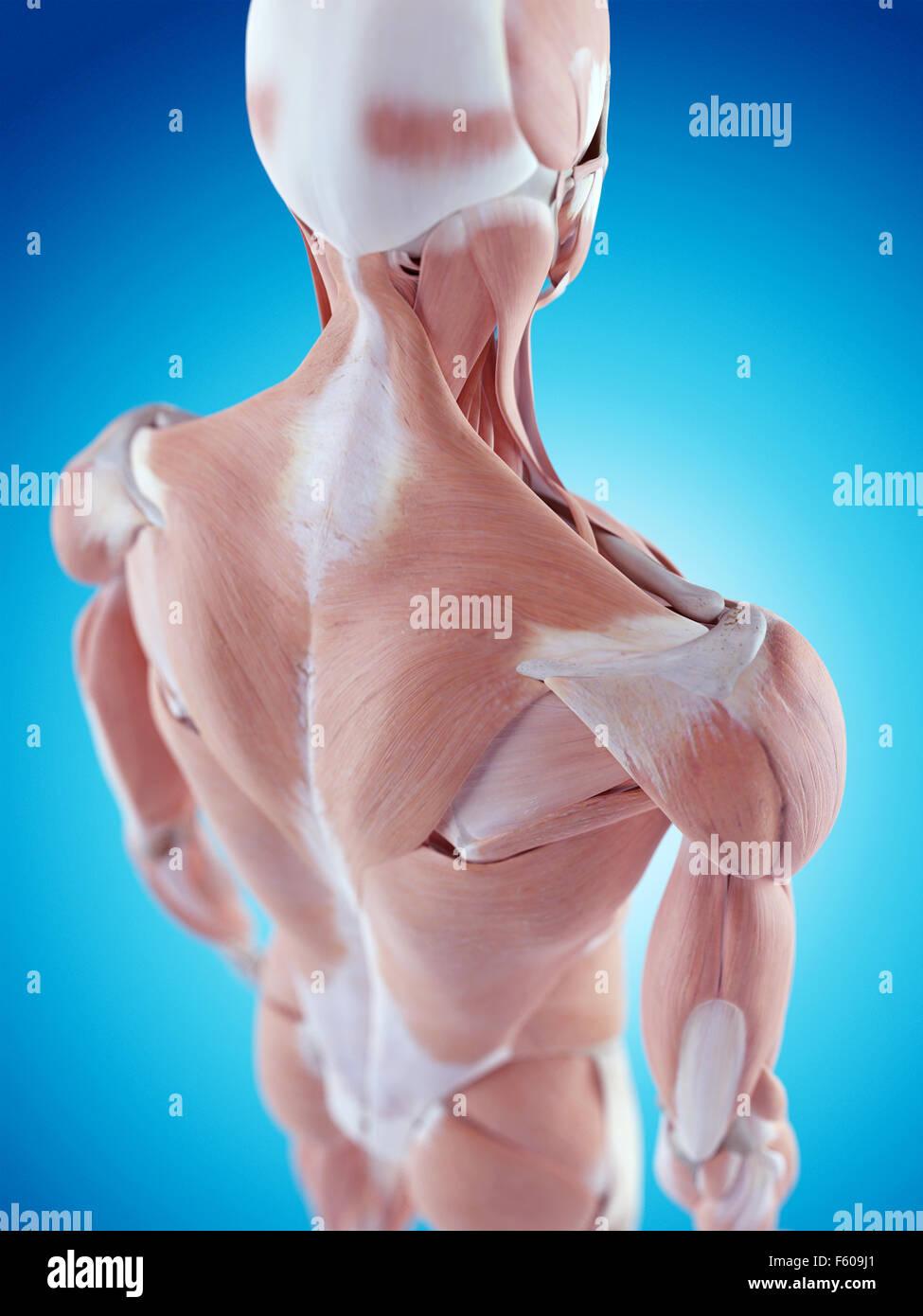 Hermosa Anatomía Del Hombro Fotos Adorno - Imágenes de Anatomía ...