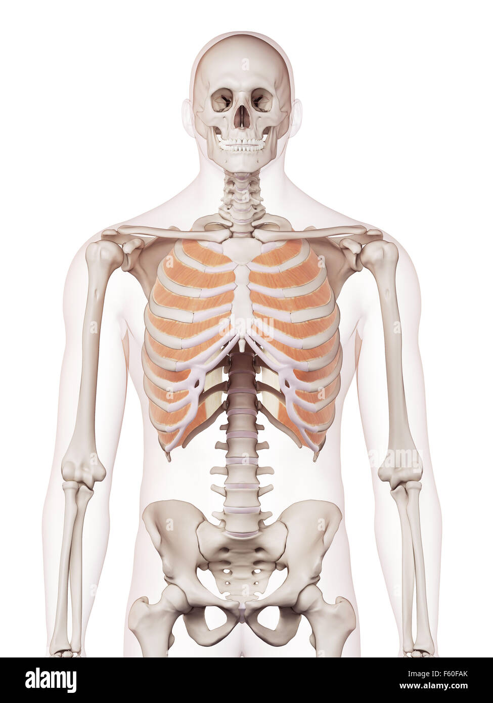 Médicamente adecuada ilustración de los músculos intercostales ...