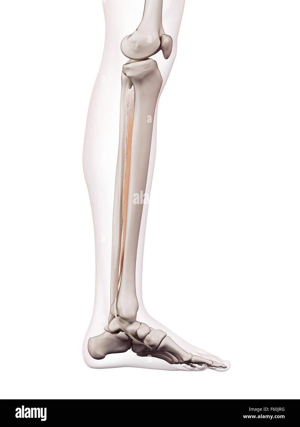 Médicamente Adecuada Ilustración Del Músculo Tibial Posterior Foto