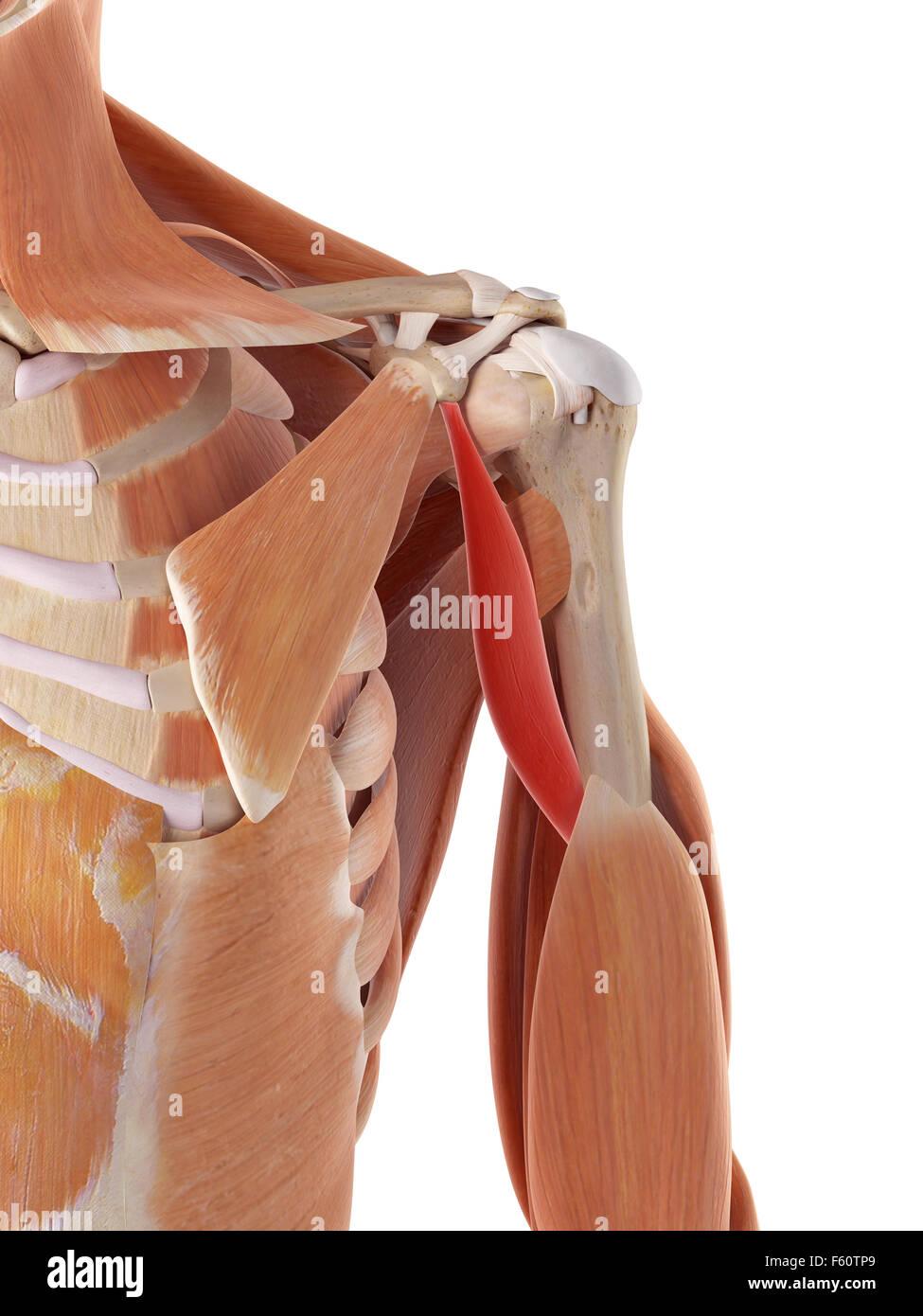 Ilustración médica exacta de los coracobrachialis Imagen De Stock