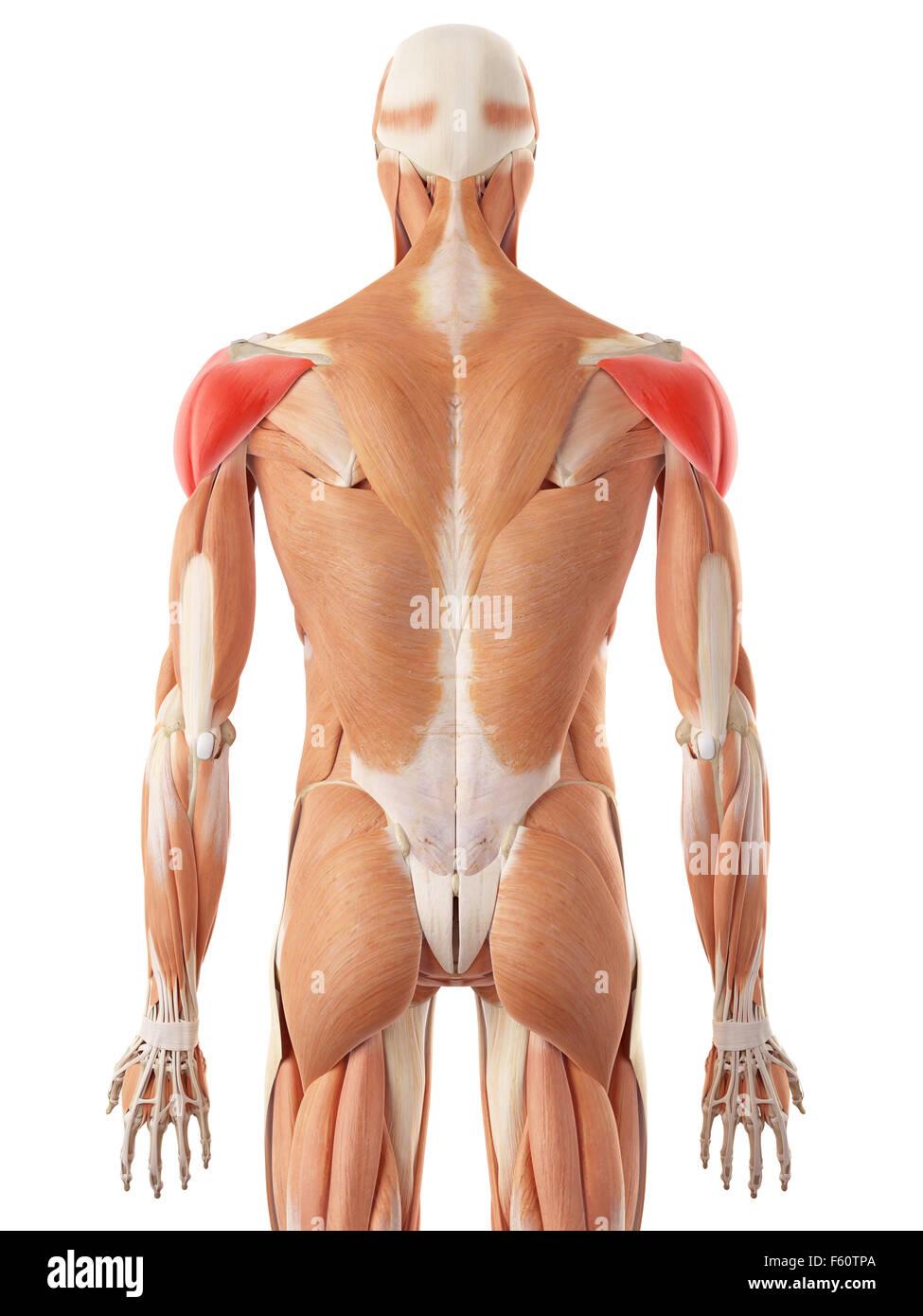 Ilustración médica precisa del músculo deltoides Imagen De Stock