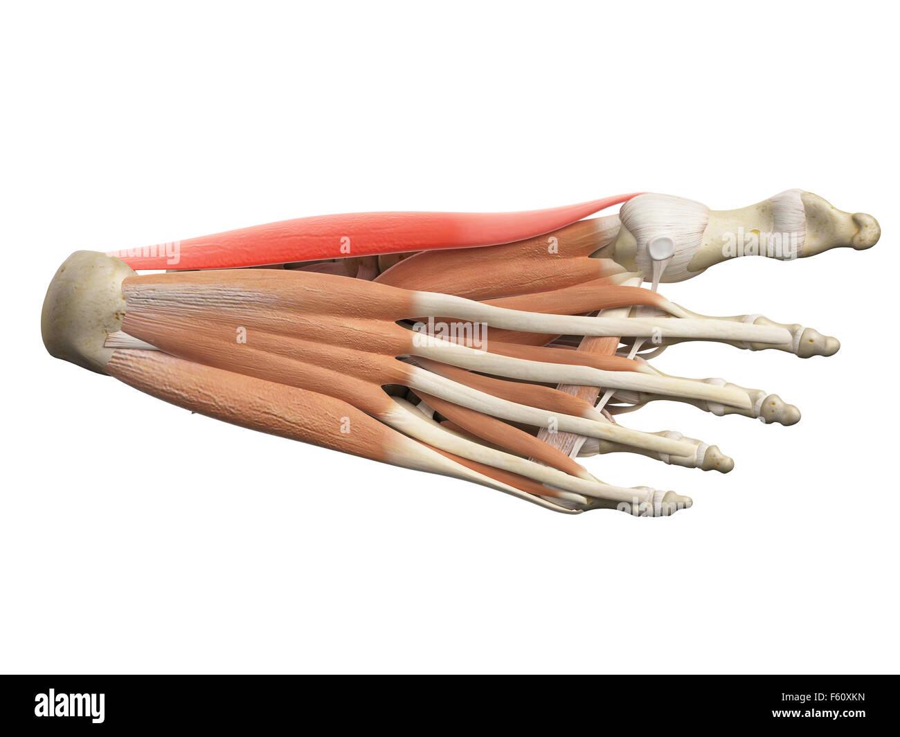 Ilustración médica precisa del hallucis abducto Imagen De Stock