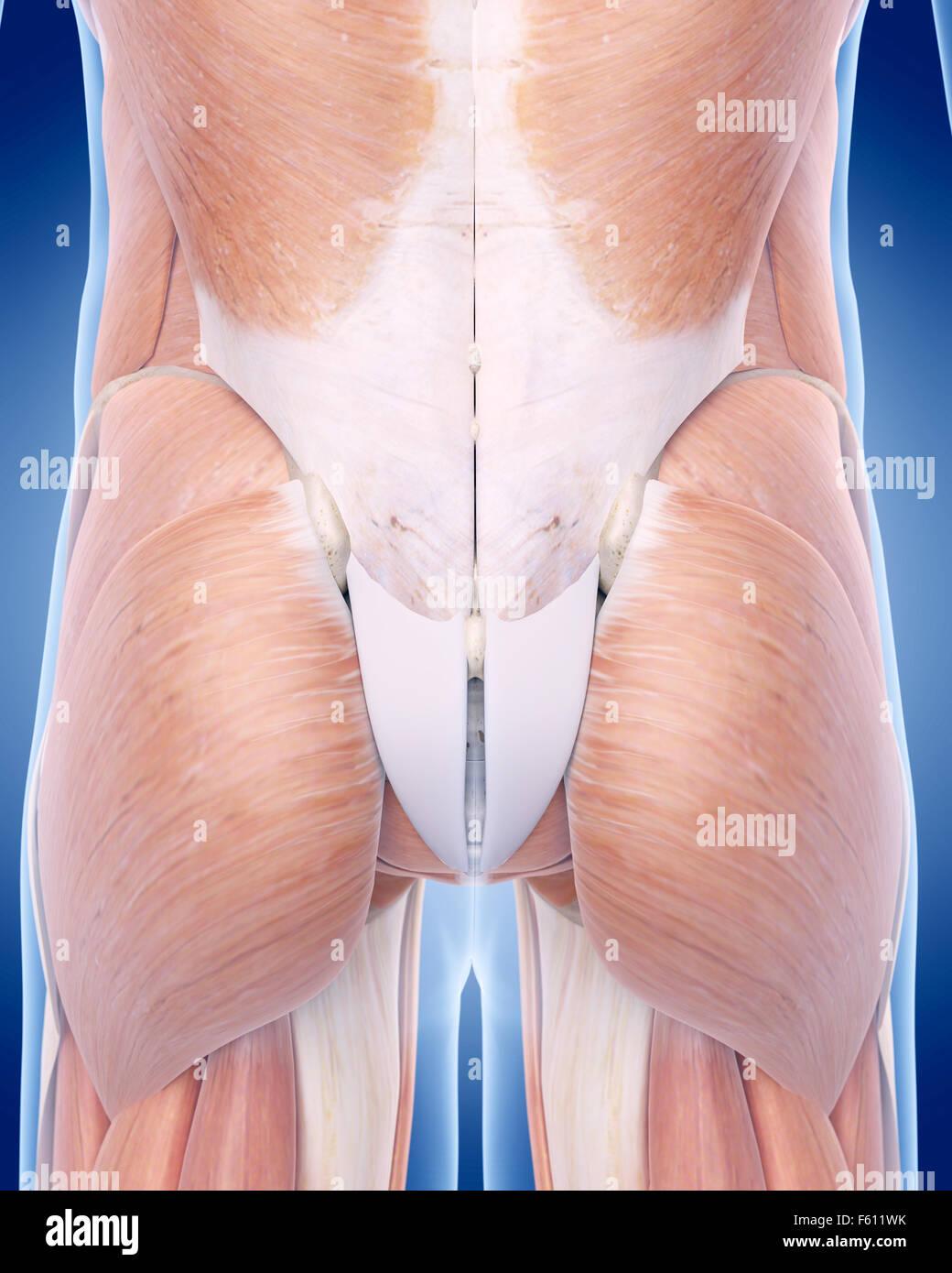 Ilustración médica precisa del músculo Gluteus Imagen De Stock