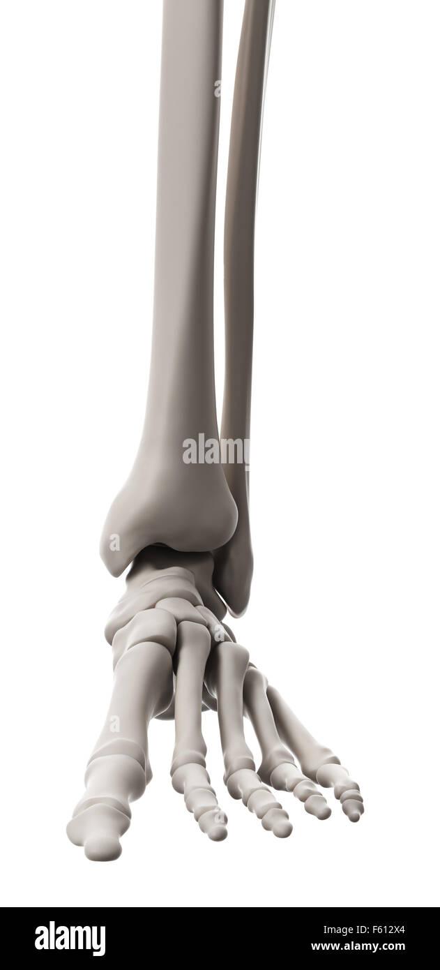 Talus Bone Imágenes De Stock & Talus Bone Fotos De Stock - Alamy