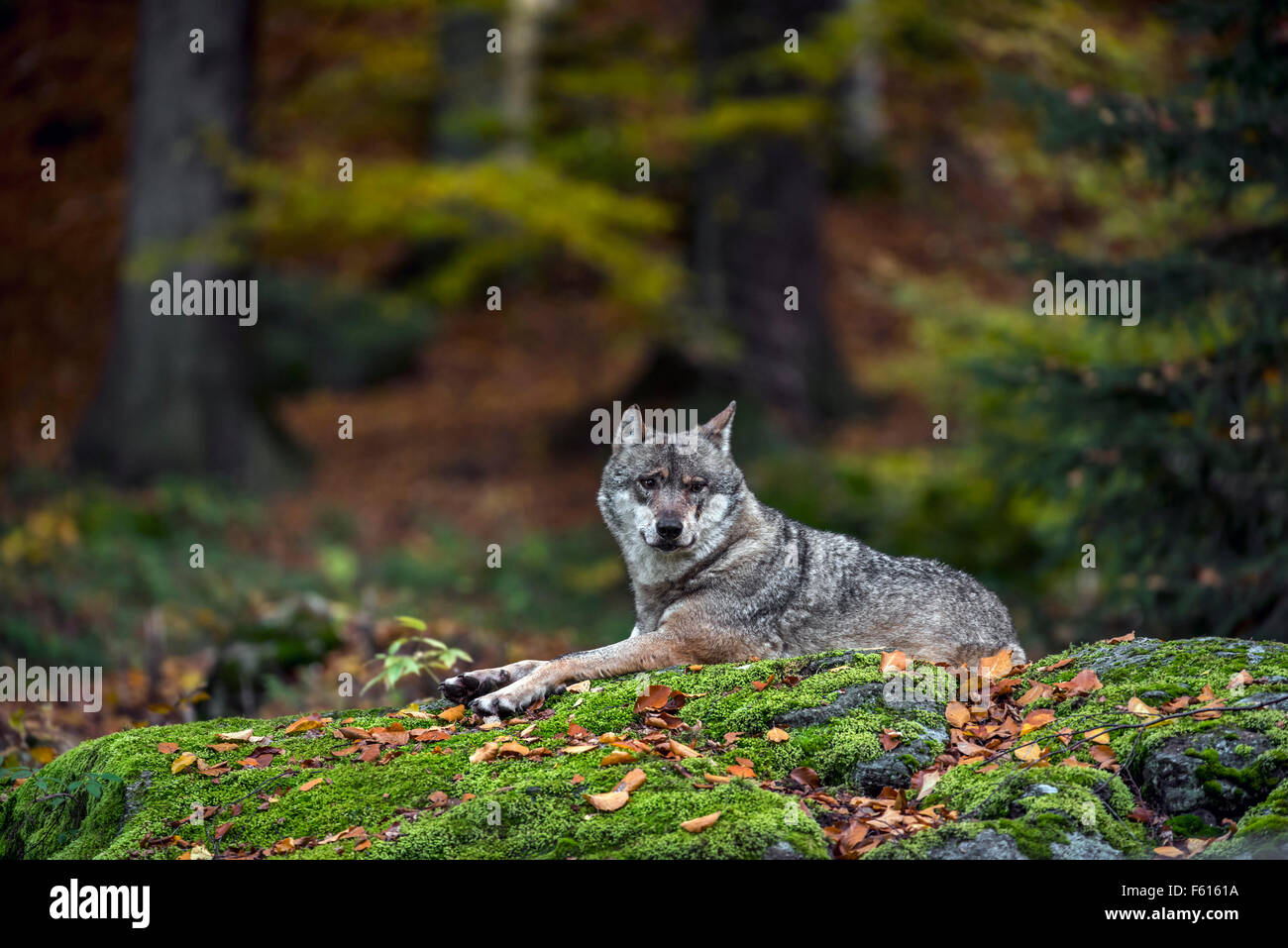 Unión lobo gris (Canis lupus) descansando sobre una roca en el bosque Imagen De Stock
