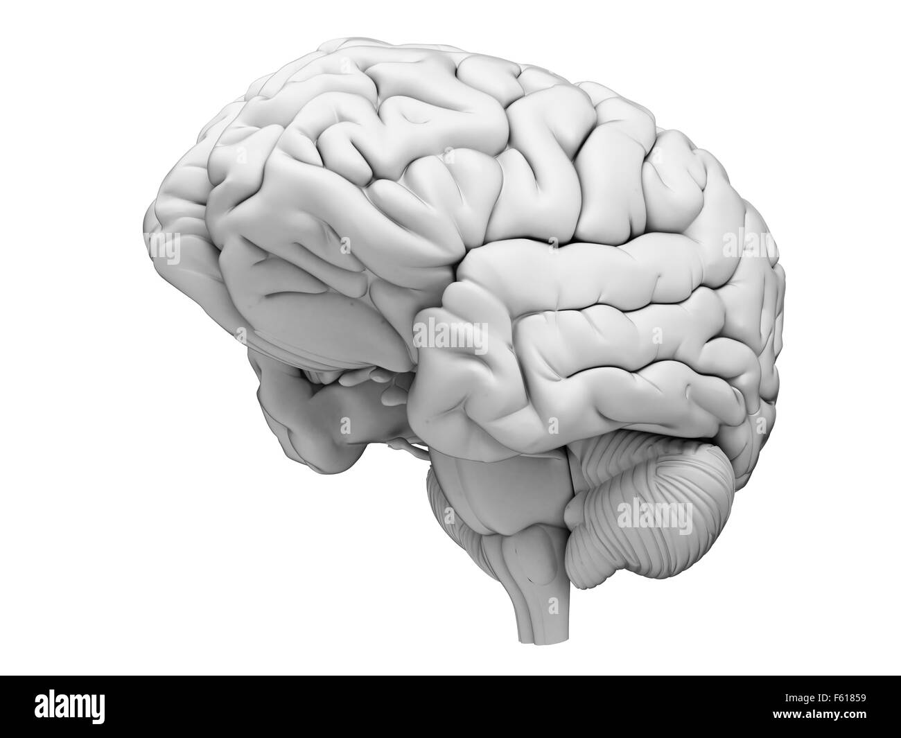 Ilustración médica precisa del cerebro humano Imagen De Stock
