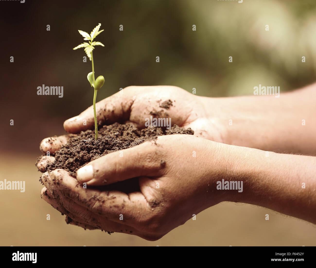 Manos sosteniendo una tierna planta de neem medicinales Imagen De Stock