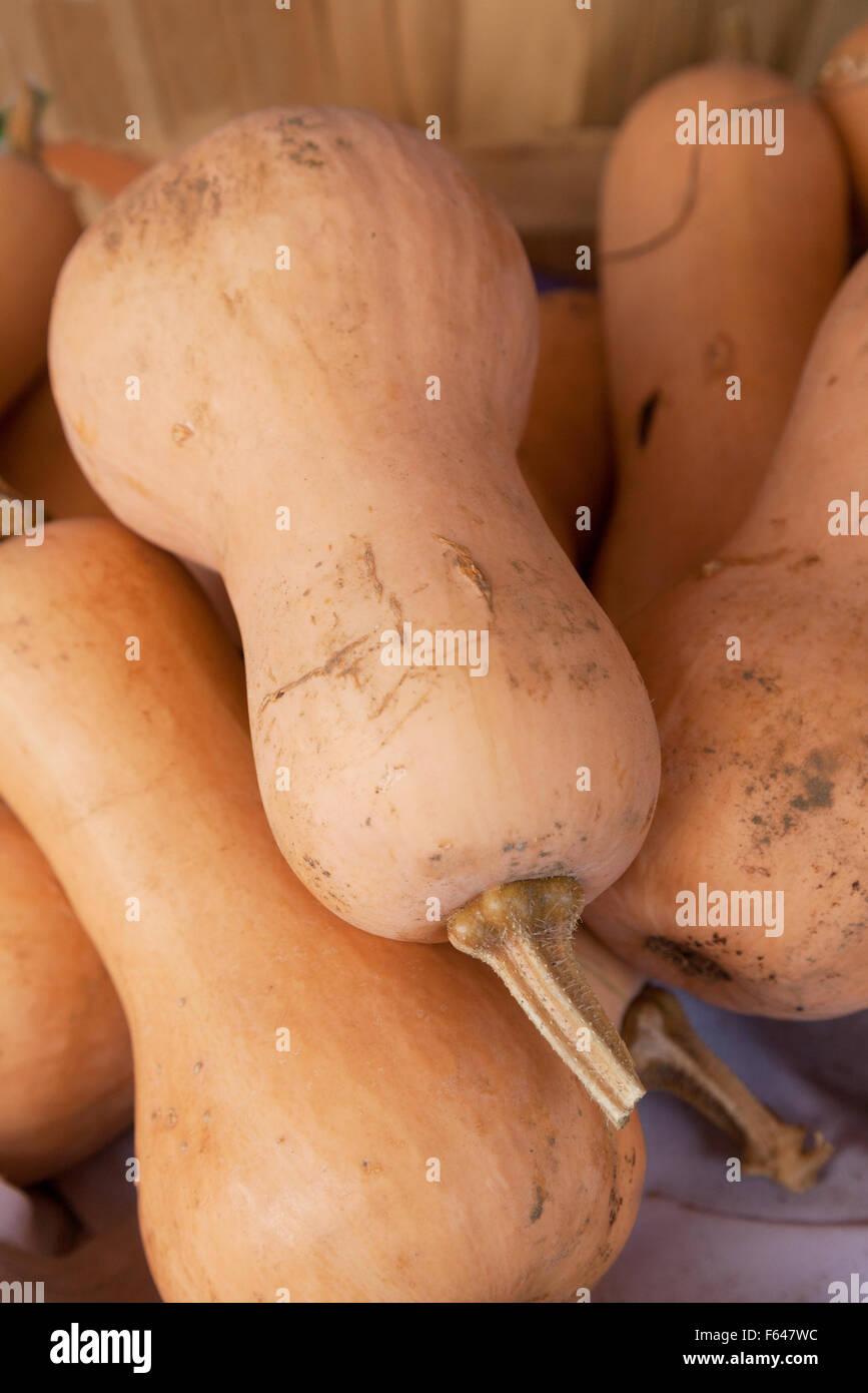 Calabacita verduras zapallos, Vermont, EE.UU. Imagen De Stock