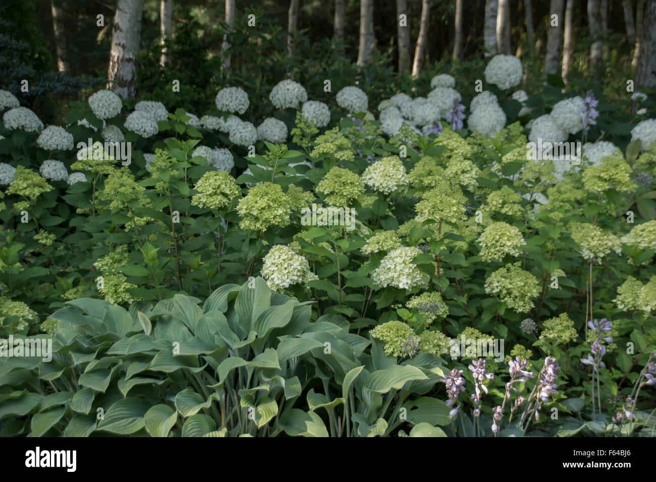 Abedul bosque nativo alcanzar fronteras hortensias for Hierbas ornamentales