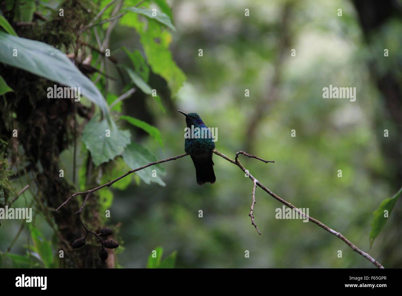 Un verde Violet-ear thalassinus colibrí, colibrí, posado en una rama en Costa Rica. Foto de stock