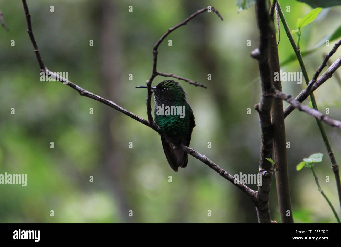 A RAYAS-tailed Hummingbird encaramado en la rama. Imagen De Stock